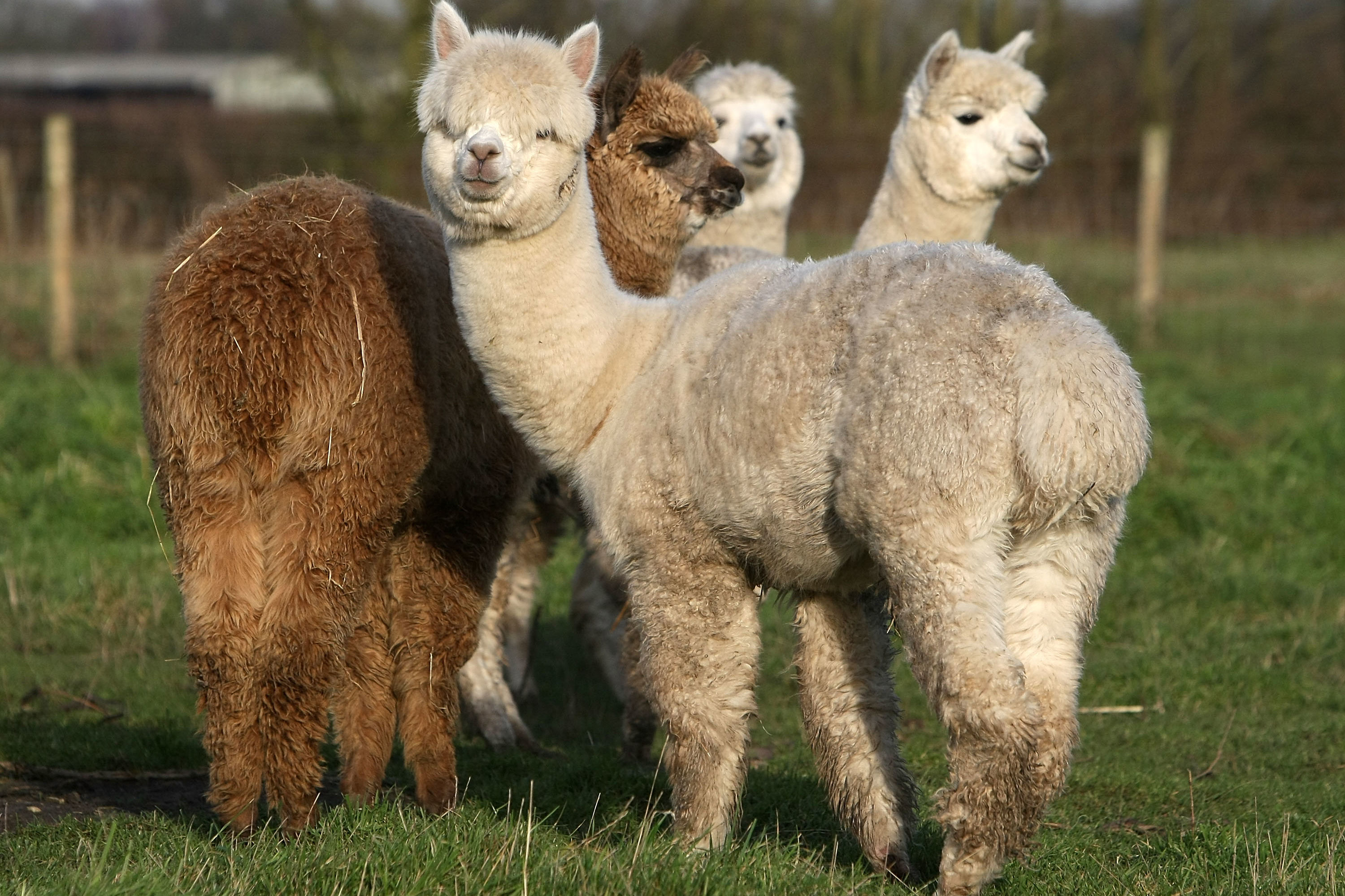 The Real Kentucky Derby Action Took Place at the Alpaca Derby
