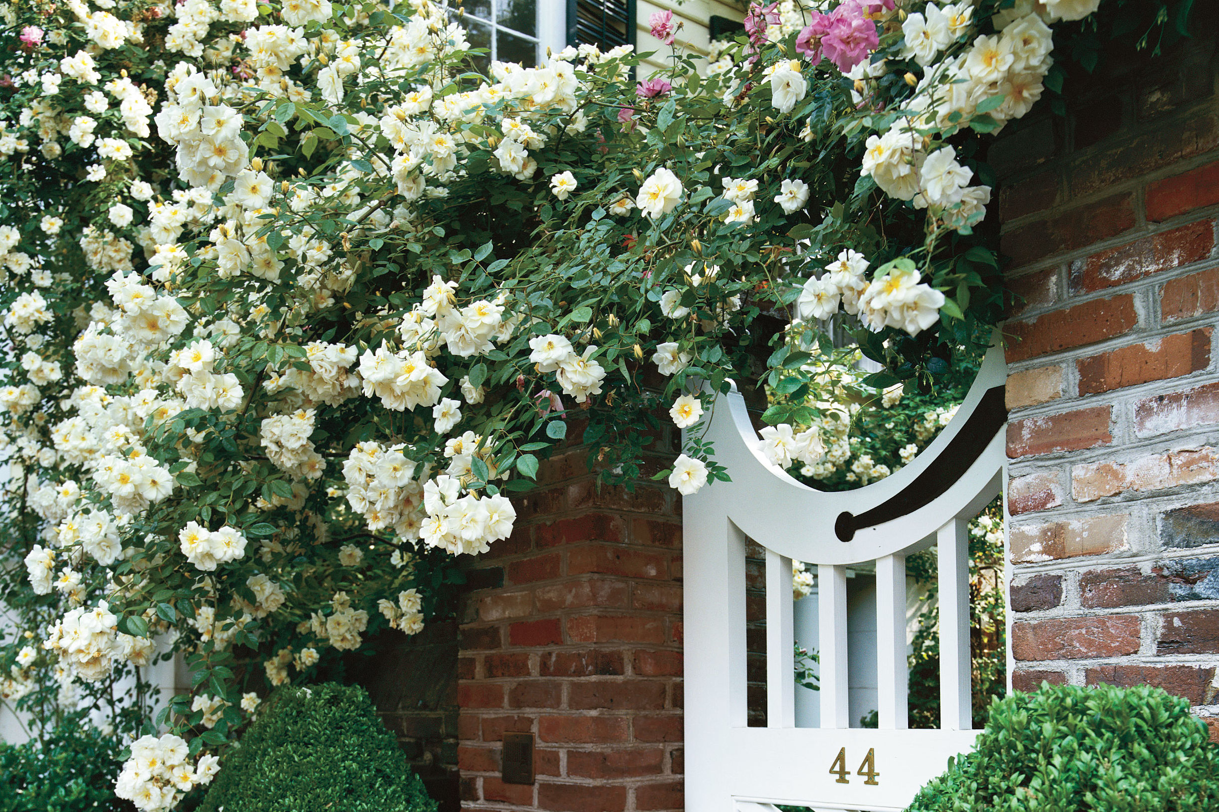Fabulous Southern Roses