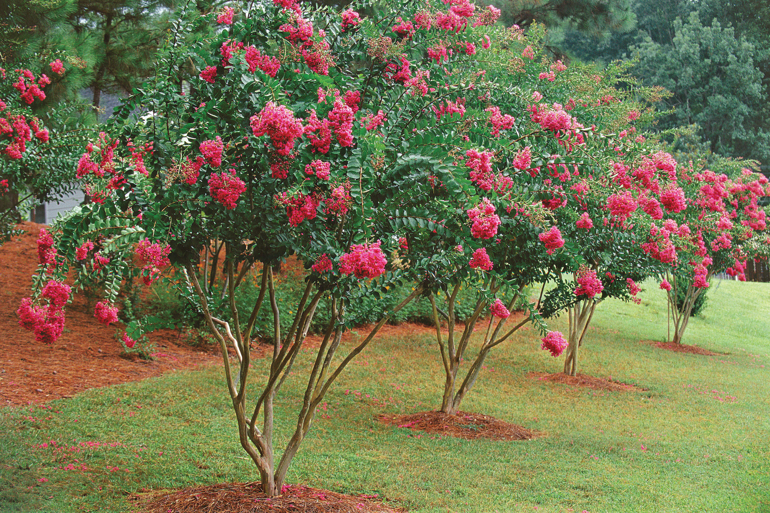 Stop! Don't Chop Crepe Myrtles!