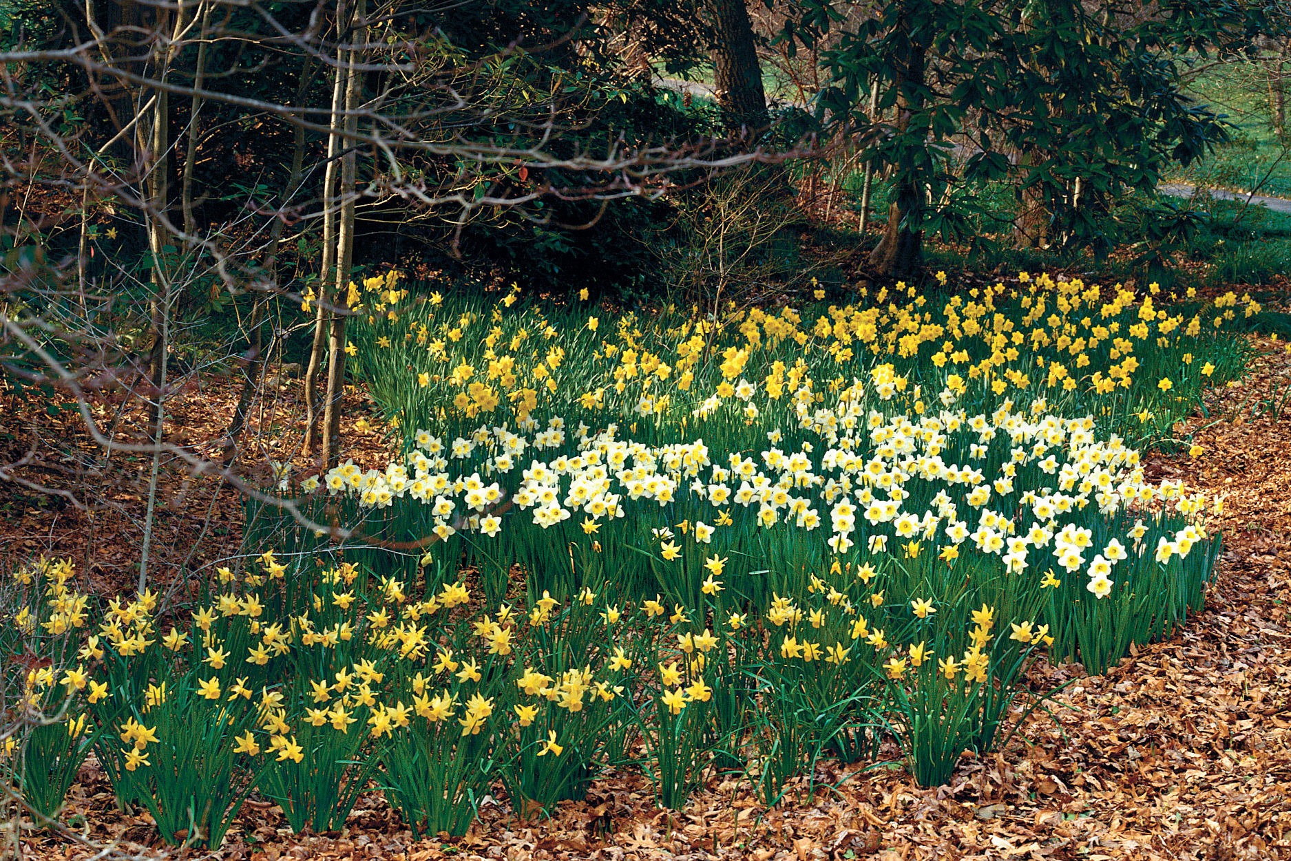 Daffodils: How to Plant 'Em Like Mother Nature