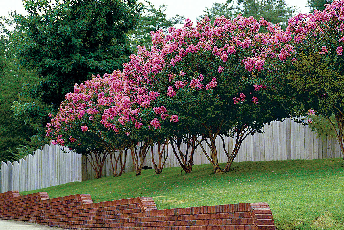 Crepe Myrtle Pruning Tips