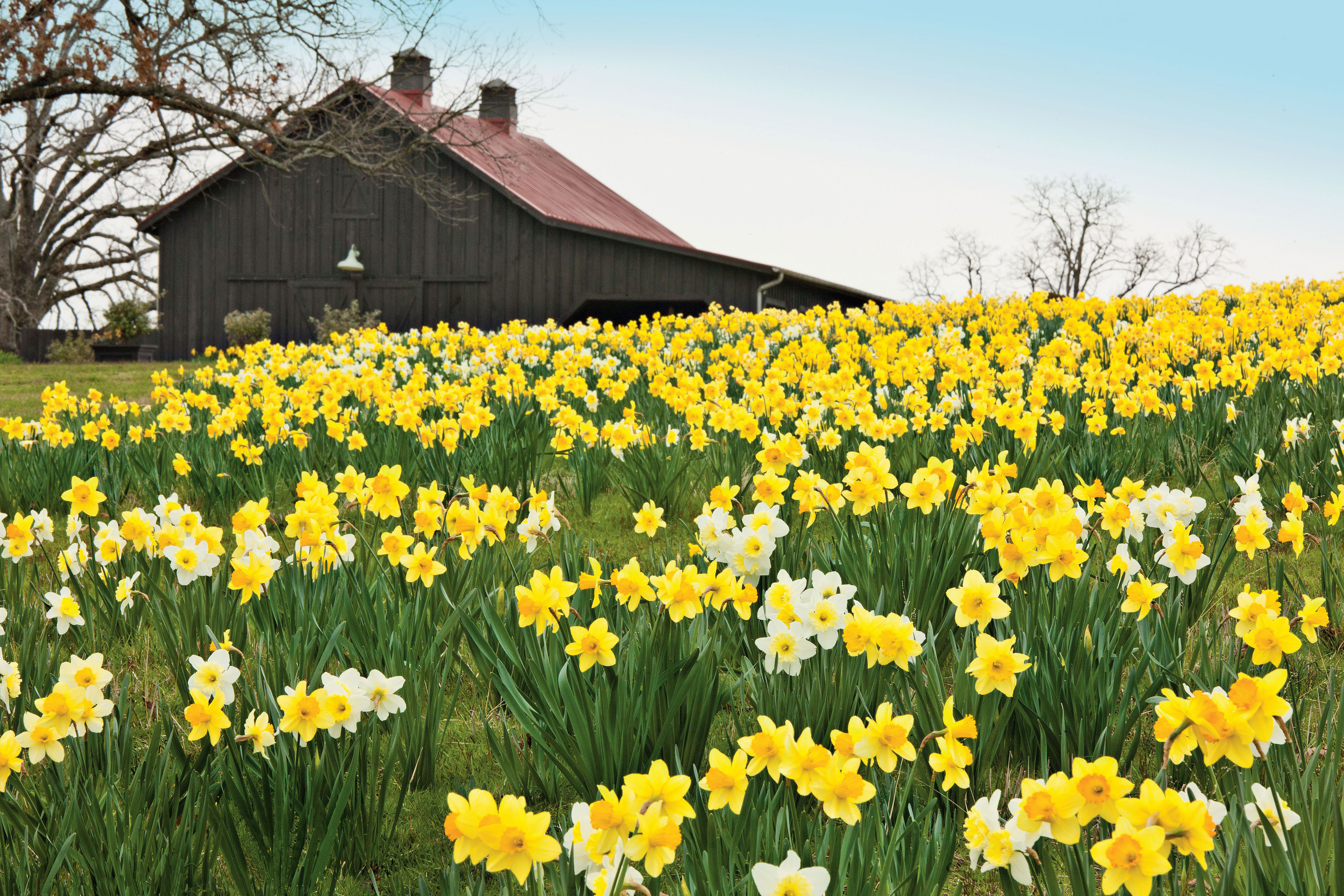 4 Reasons Why Your Daffodil Bulbs Arent Blooming Southern Living