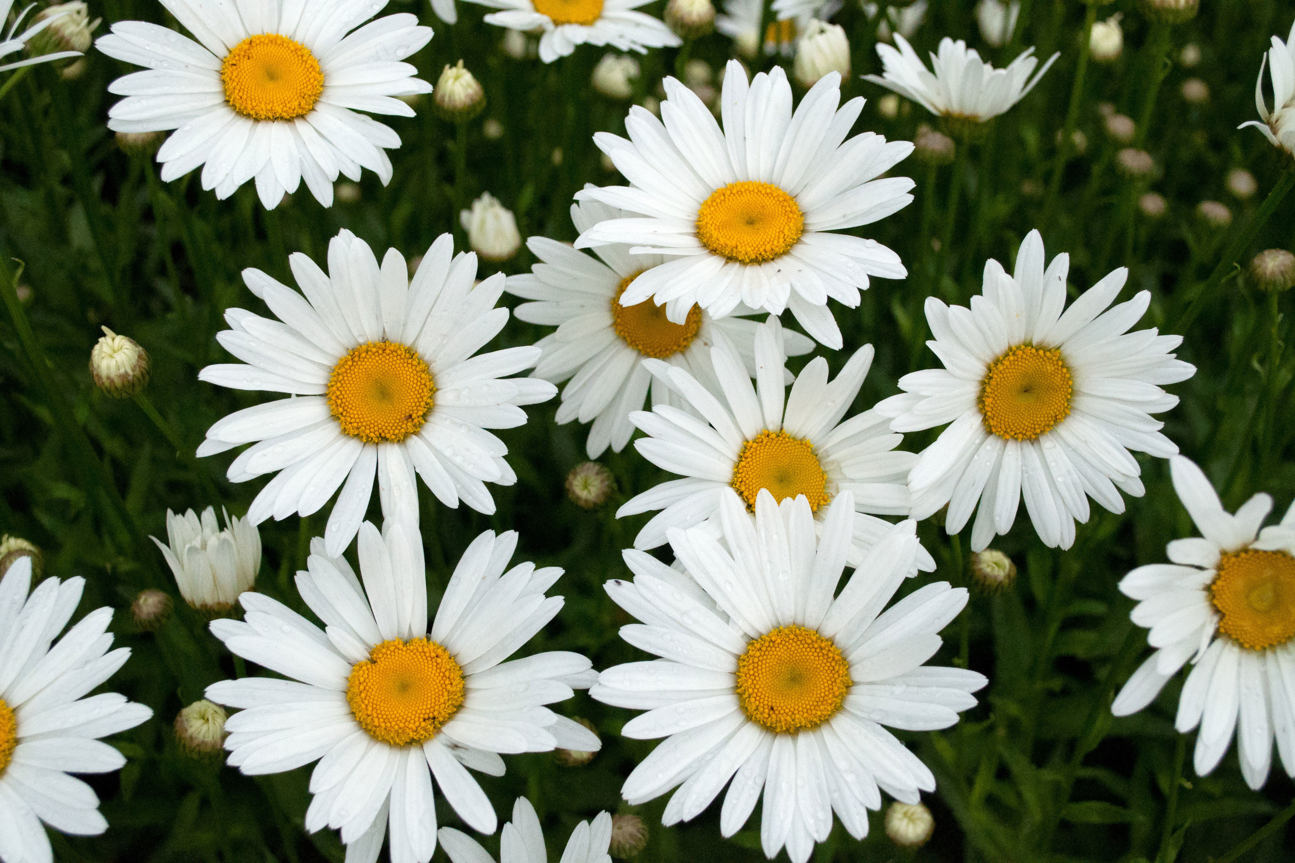 Why the daisy is a girls best friend southern living izmirmasajfo