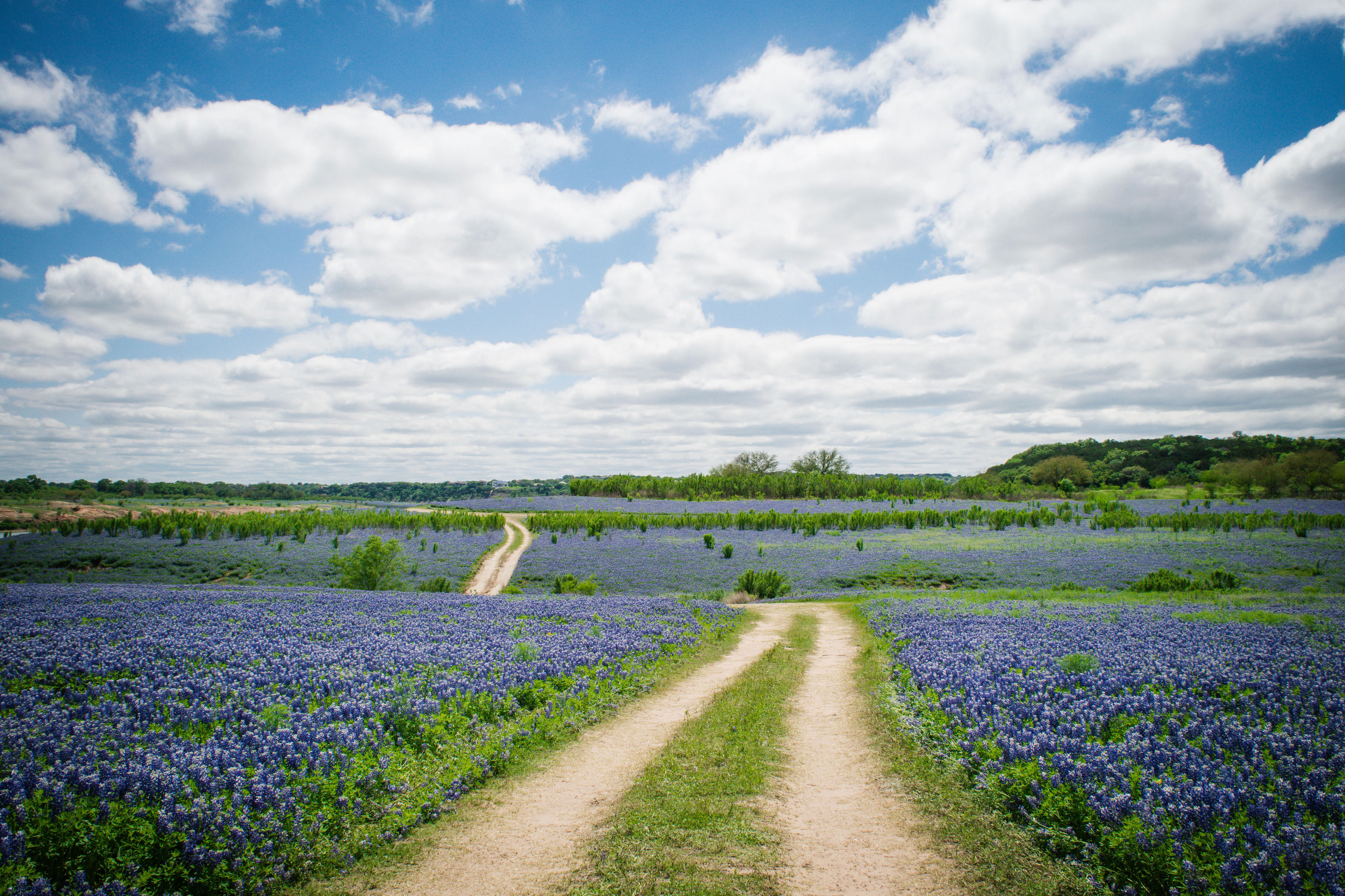 Five Colorful Facts You Should Know About the Bluebonnet
