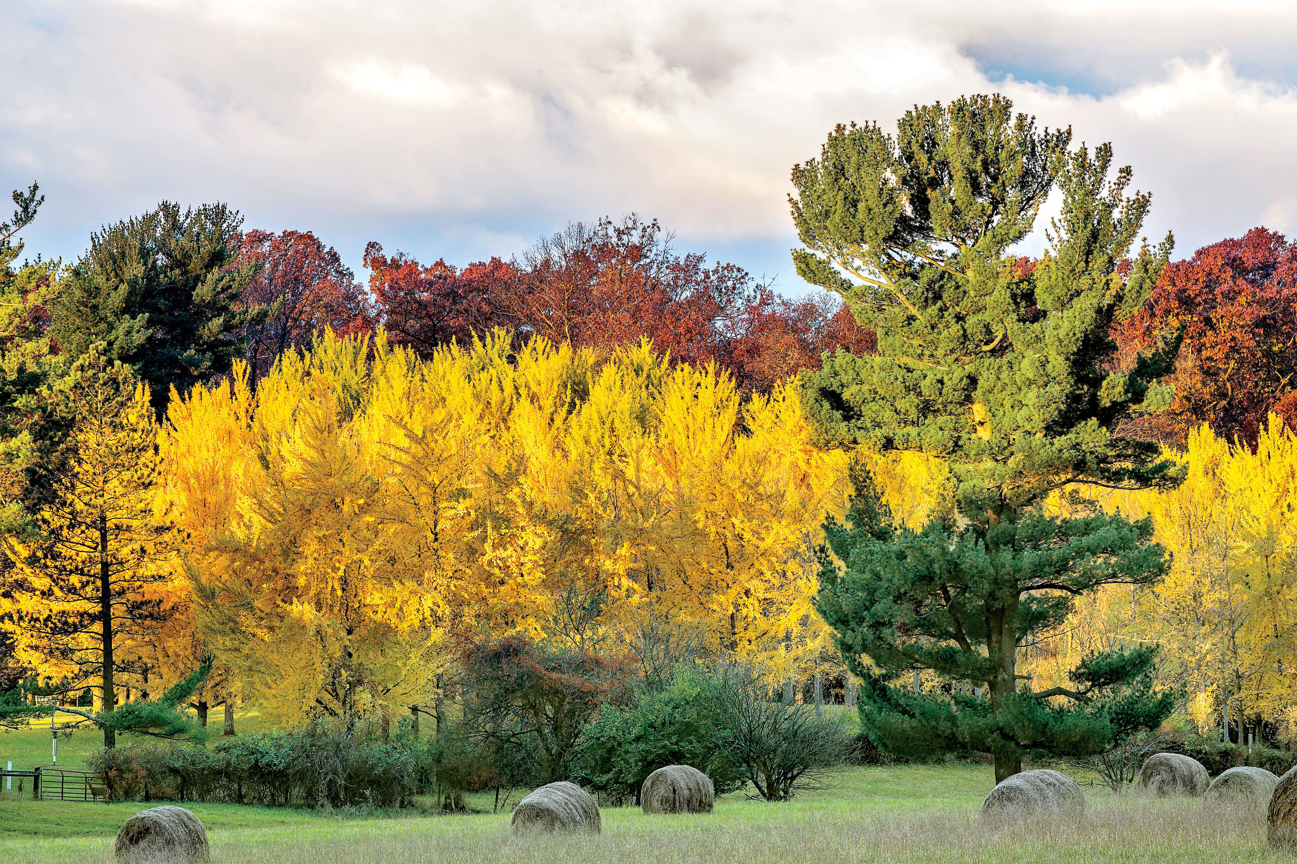 5 Things To Know About Ginkgo Trees and All Their Glorious Color