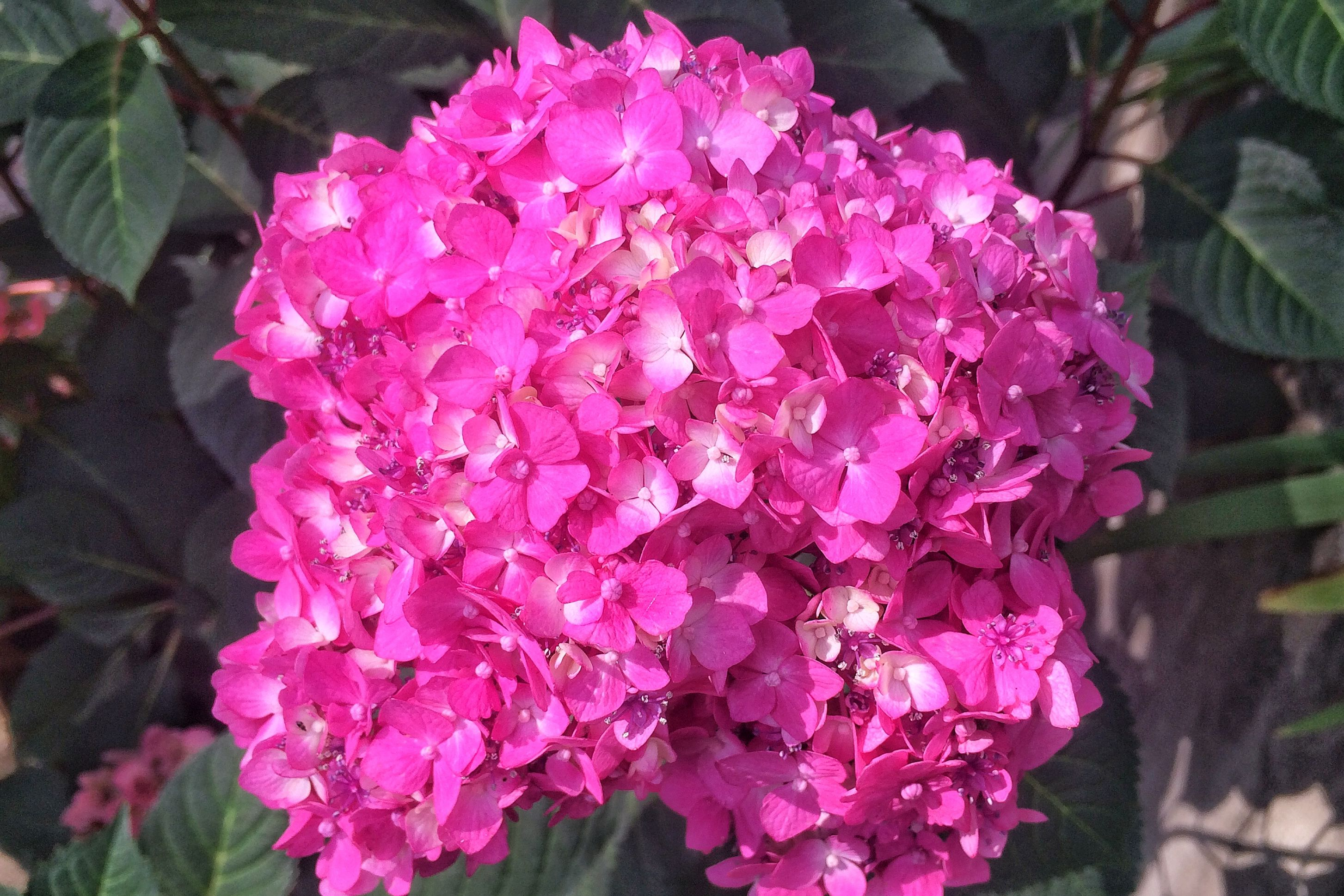 How Long Does It Take to Turn a Pink Hydrangea Blue?