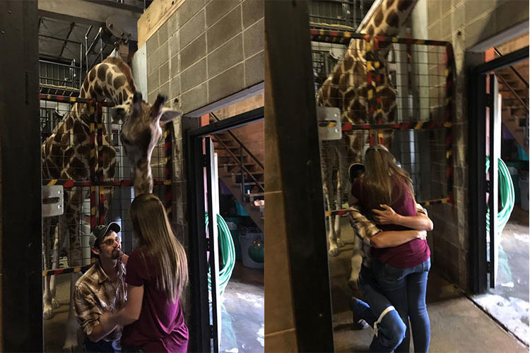 Giraffe Helps Missouri Man Propose to His Girlfriend at Local Zoo