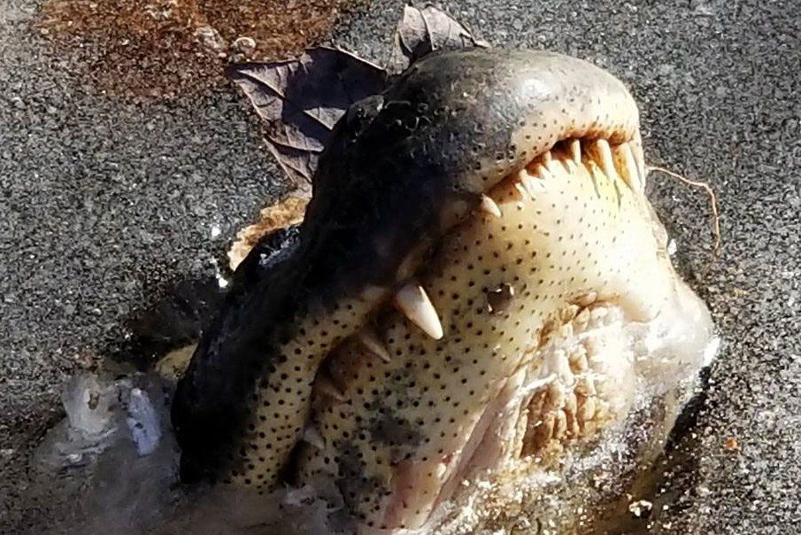 North Carolina Alligators Survive Surprise Freeze by Turning Their Noses Into Snorkels