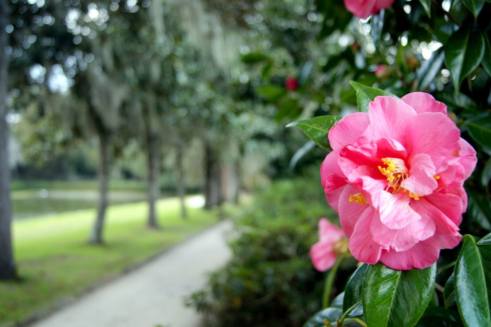 The Middleton Place Camellias Are Blooming