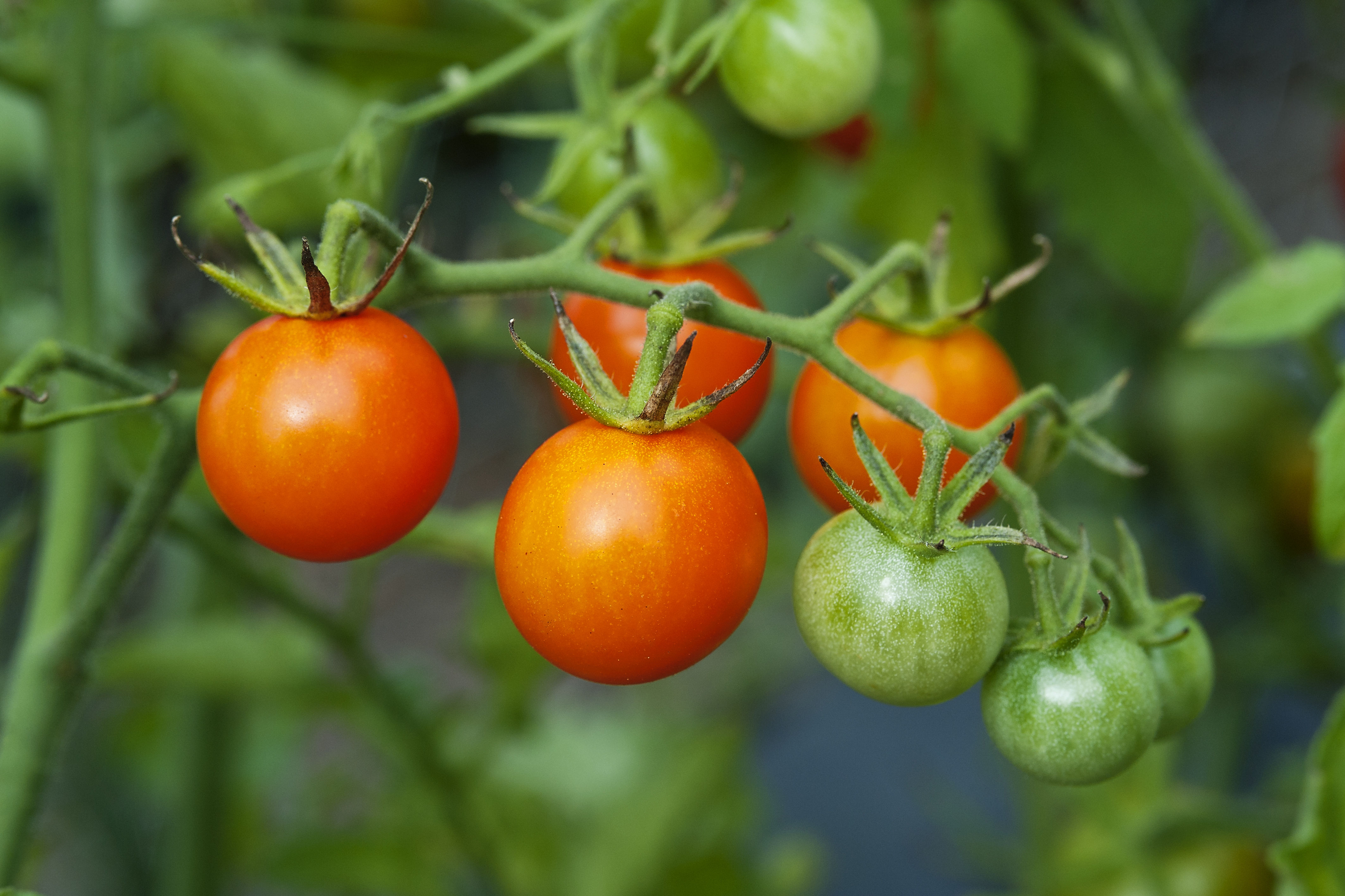 This Is the Trick to Growing the Best Tomatoes