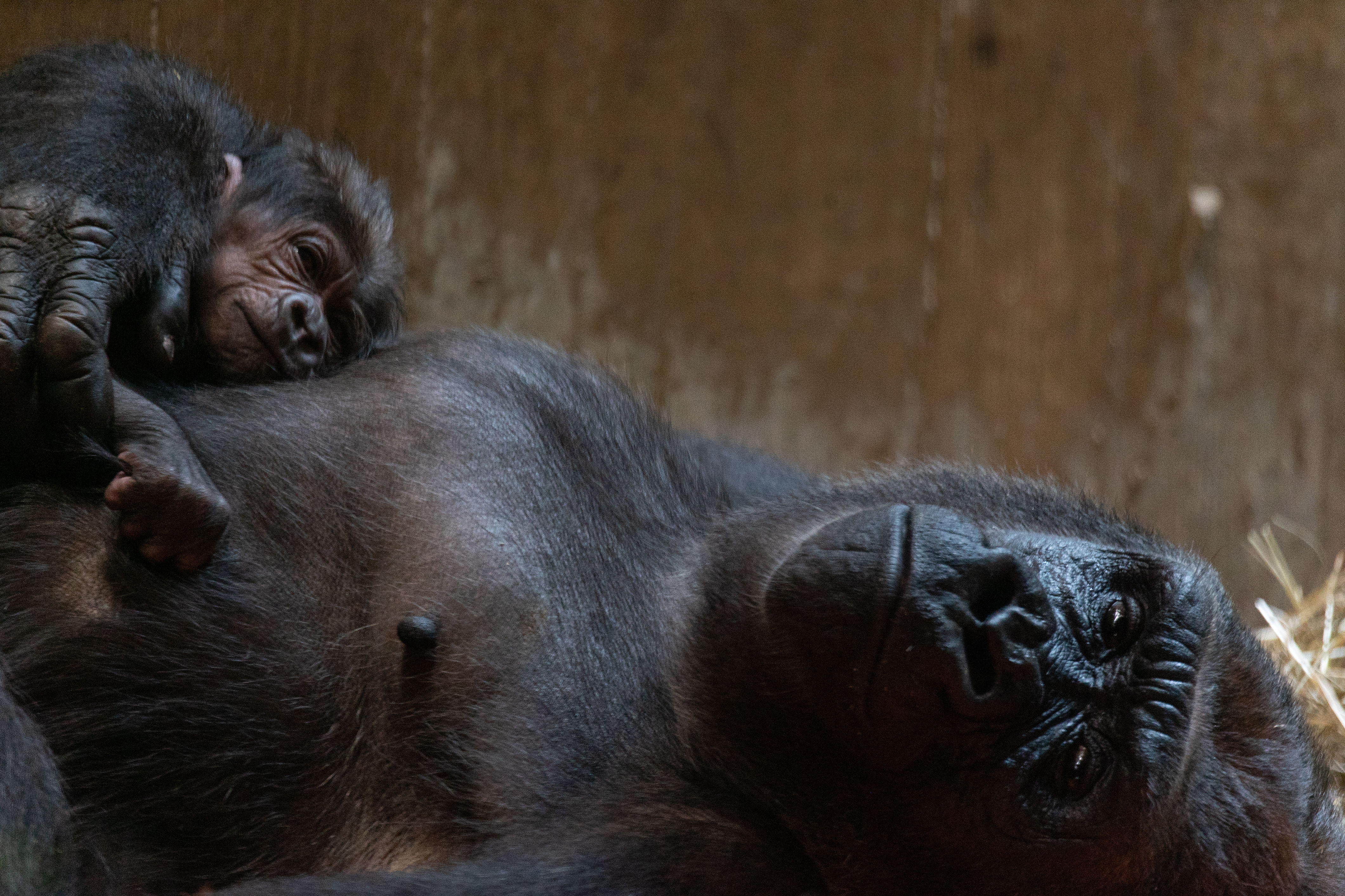 Critically Endangered Baby Gorilla Born at The National Zoo
