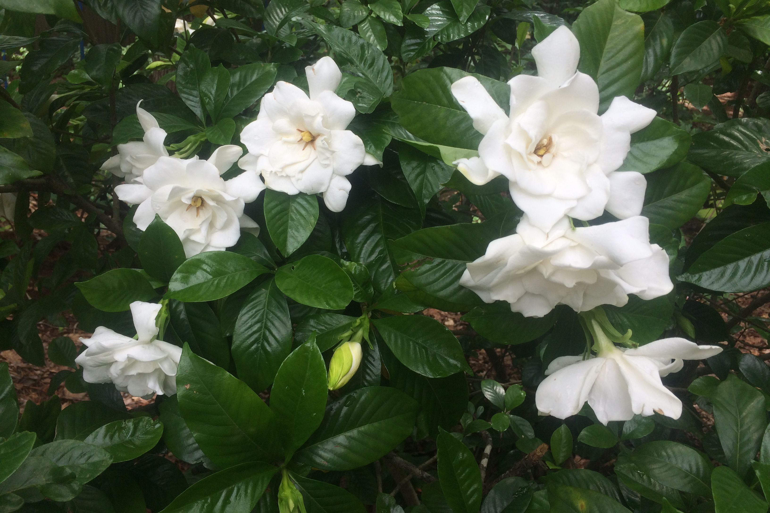 How to Grow a Gardenia Tree