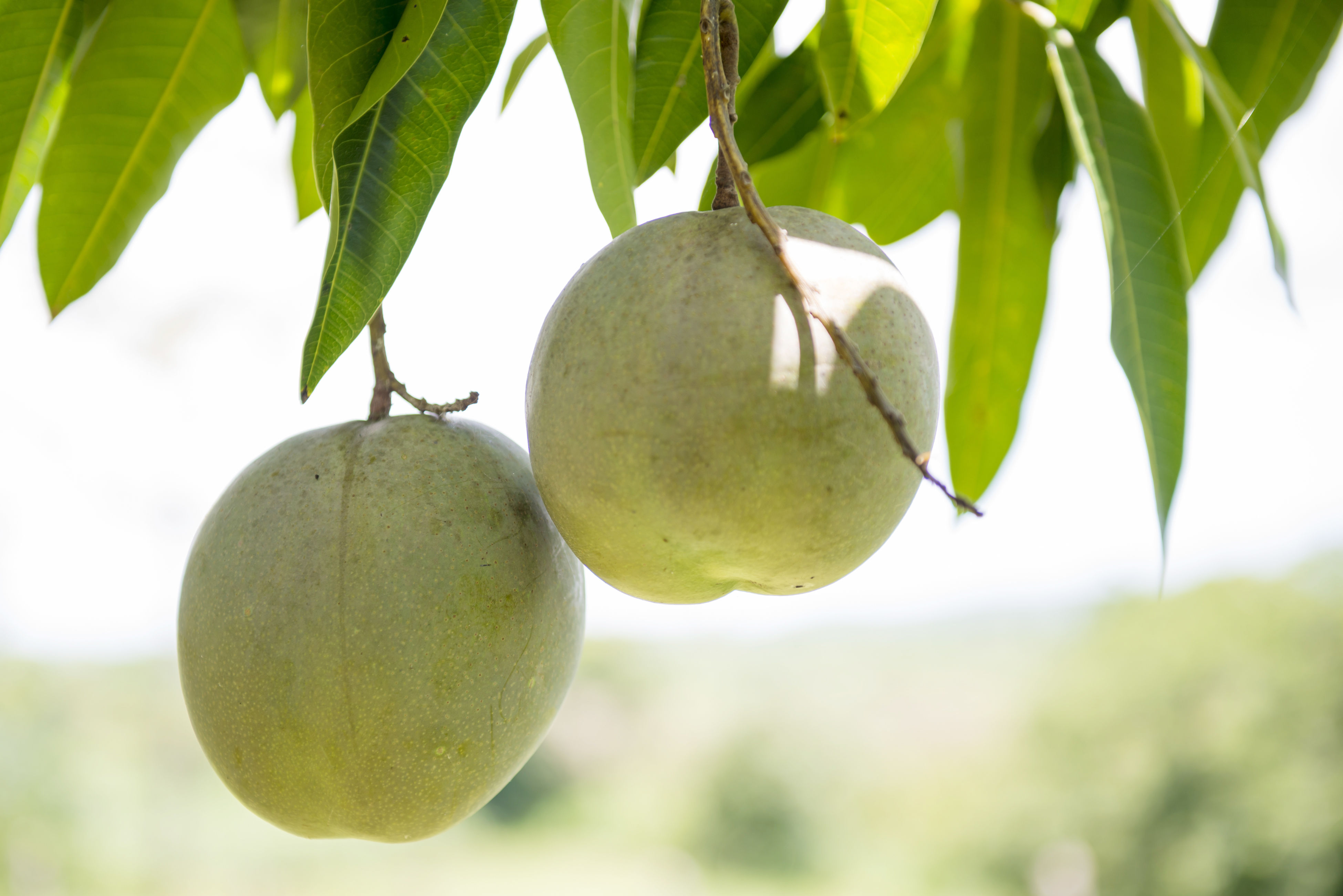 What You Probably Didn't Know About Mango Leaves