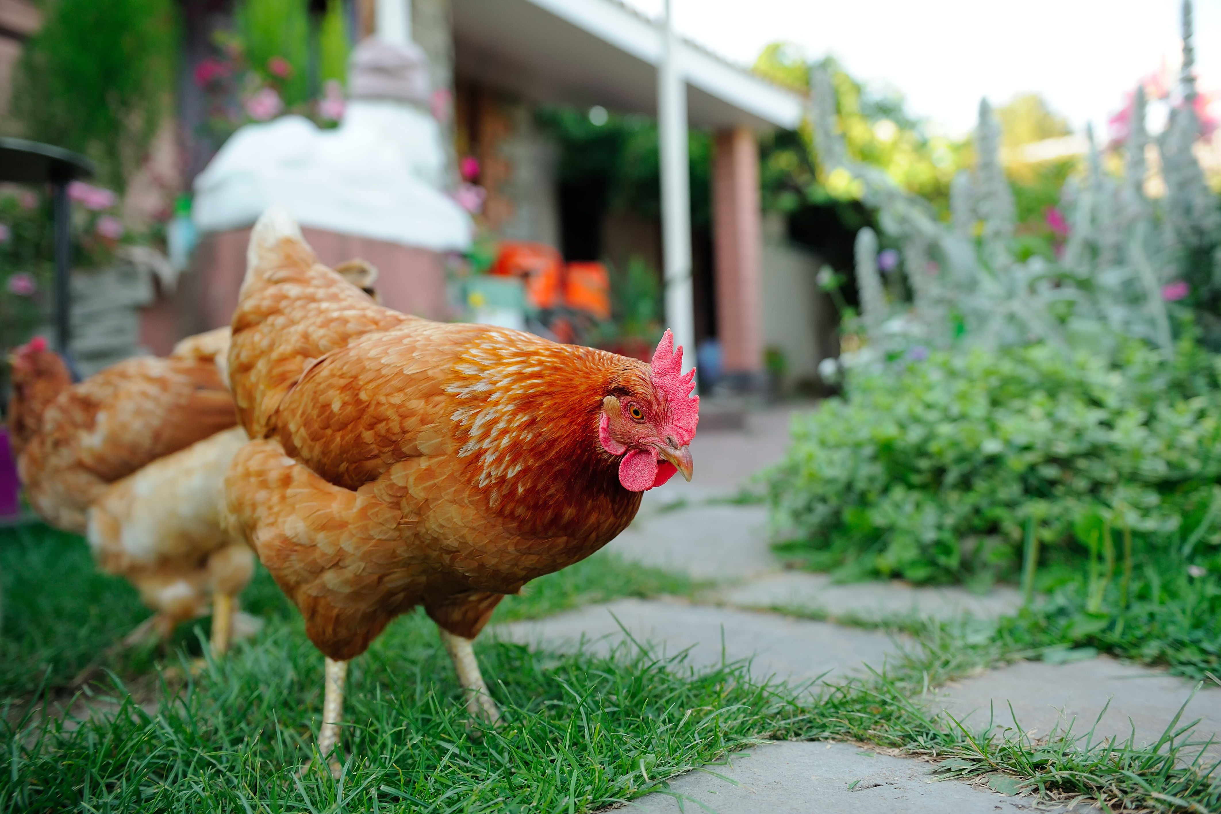 Sorry to Ruffle Any Feathers, but Backyard Chickens Can Pose a Serious Health Risk