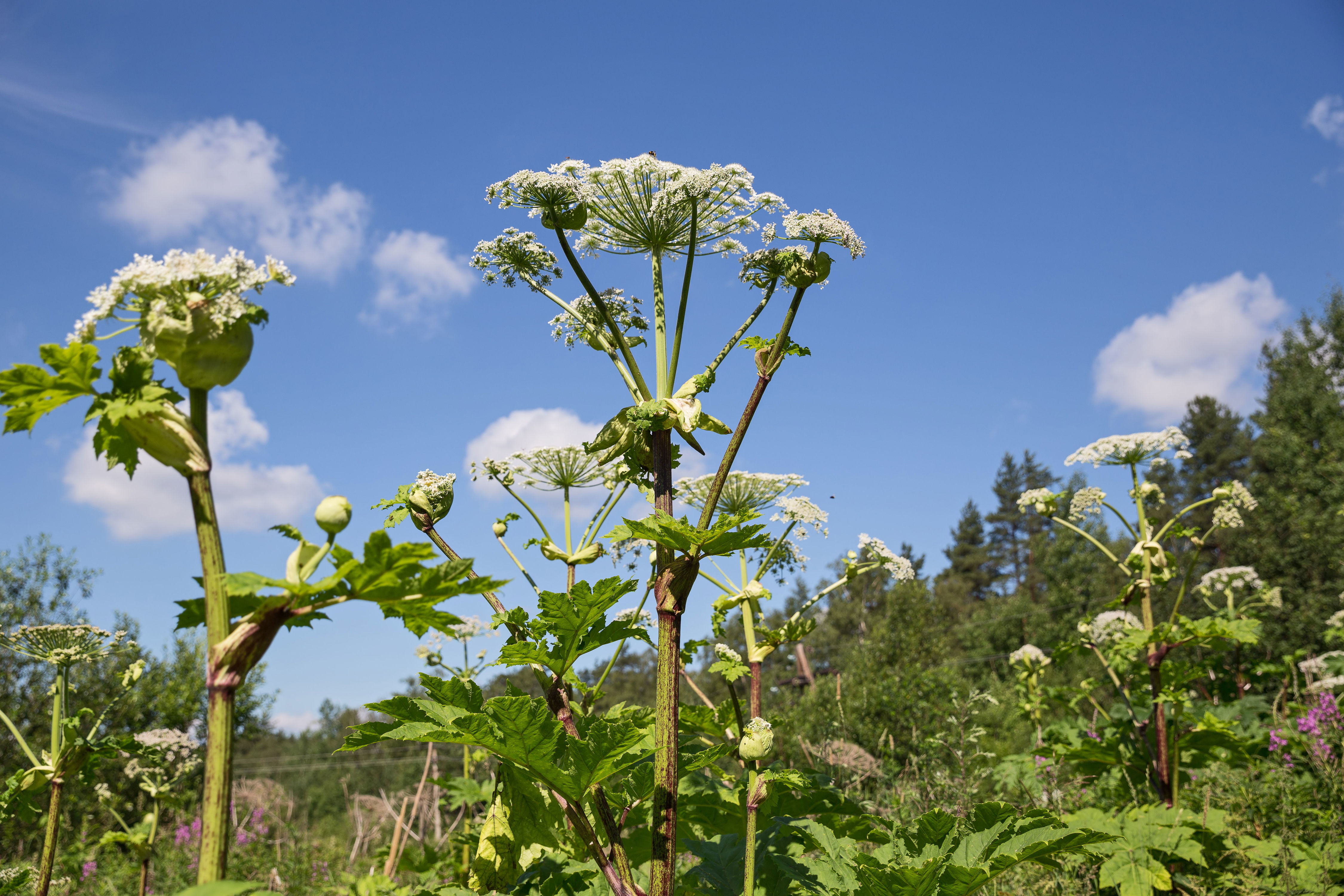 Beware the Giant Hogweed Plant