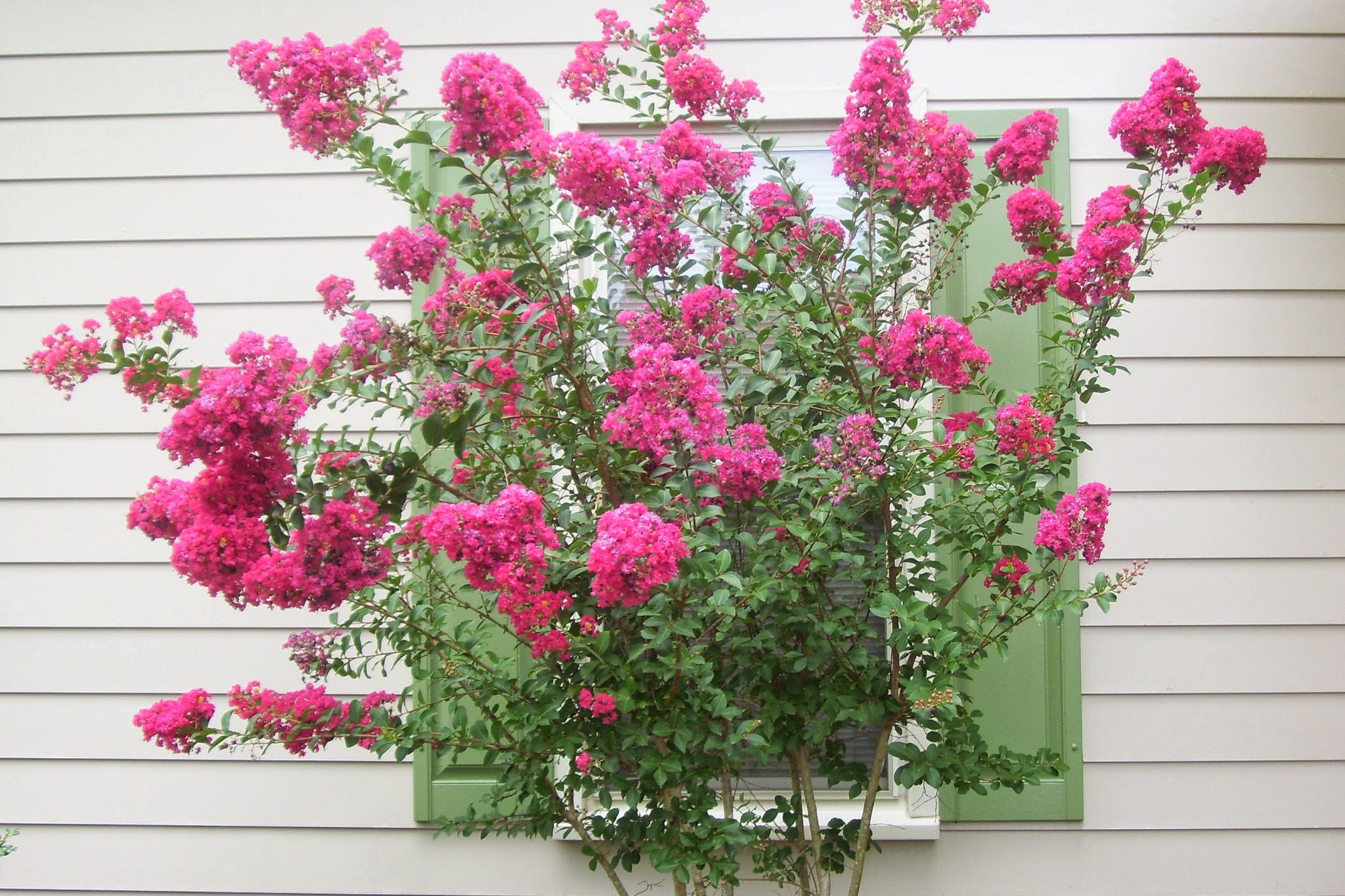 3 Terrible Places to Plant Crepe Myrtle