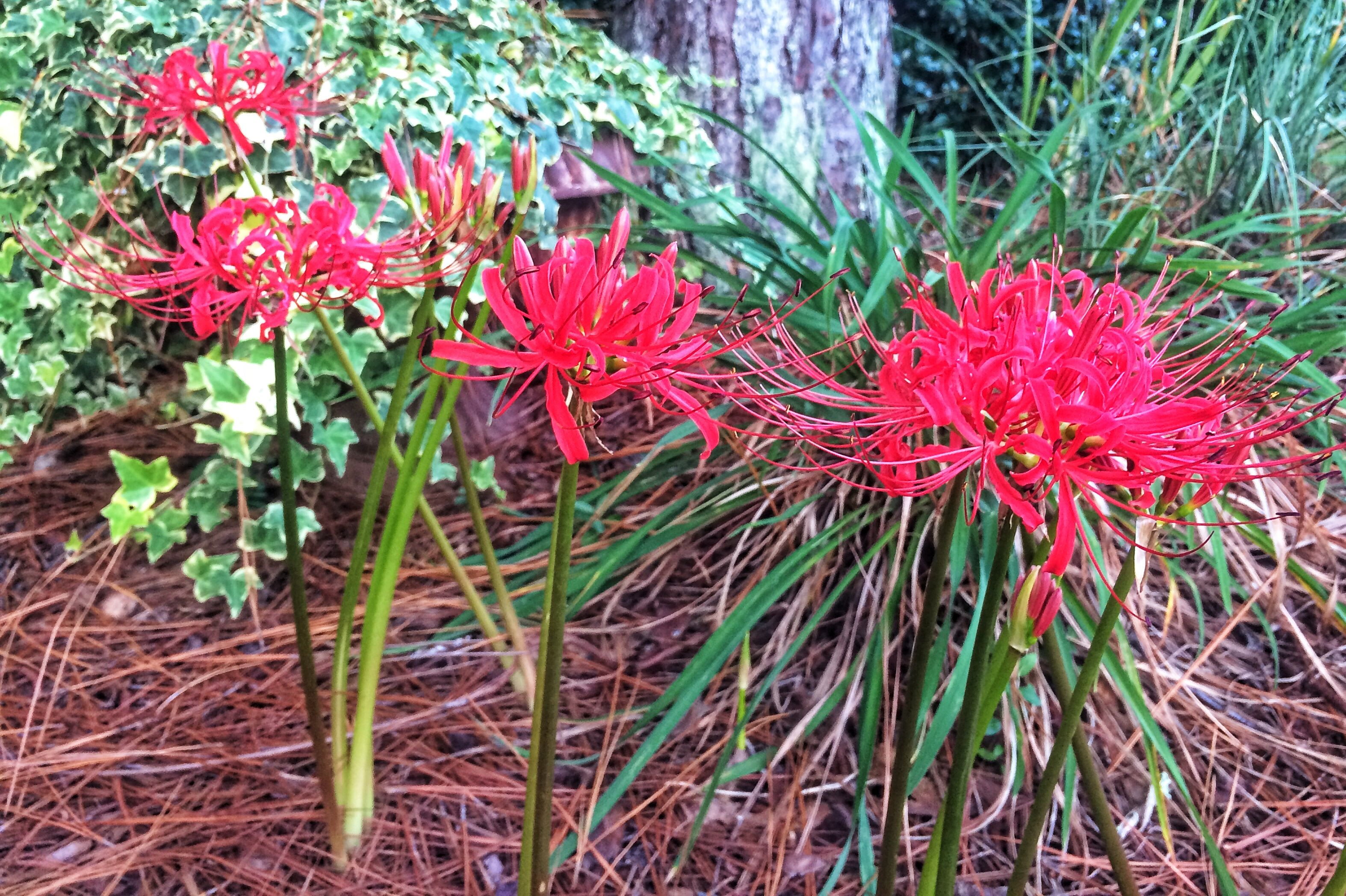 Spider Lilies in Early September? Sorcery!