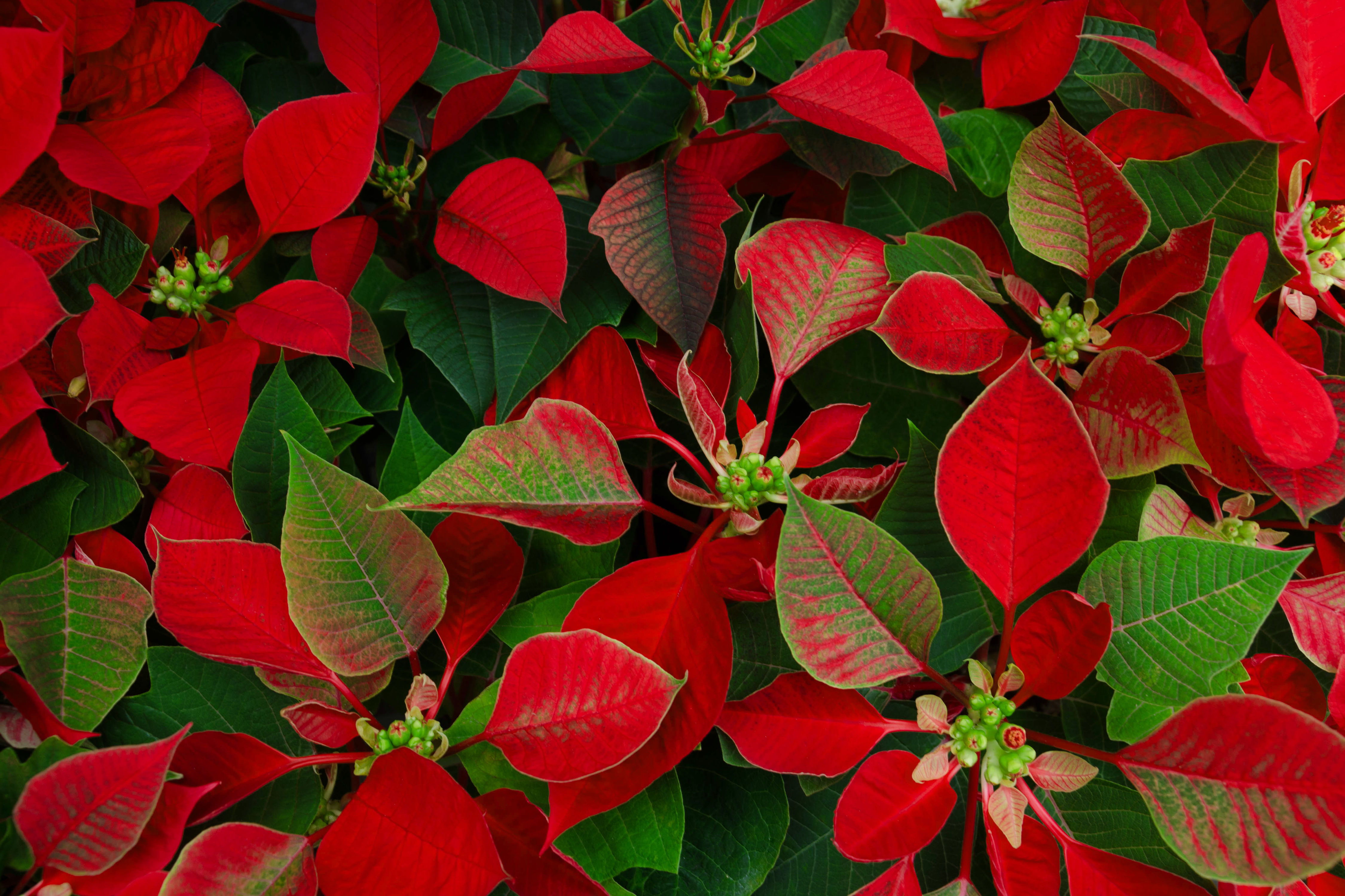 17 Best Christmas Plants - Winter Plants and Flowers for the ... Red And Green House Plant That Like Shade on bedding plants that like shade, indoor plants that like shade, climbing plants that like shade, desert plants that like shade, blooming plants that like shade, house plants that thrive in shade, vegetable plants that like shade, vining plants that like shade, tropical plants that like shade, pool equipment cover for shade, house plants that like sun, flowering plants that like shade, patio plants that like shade,
