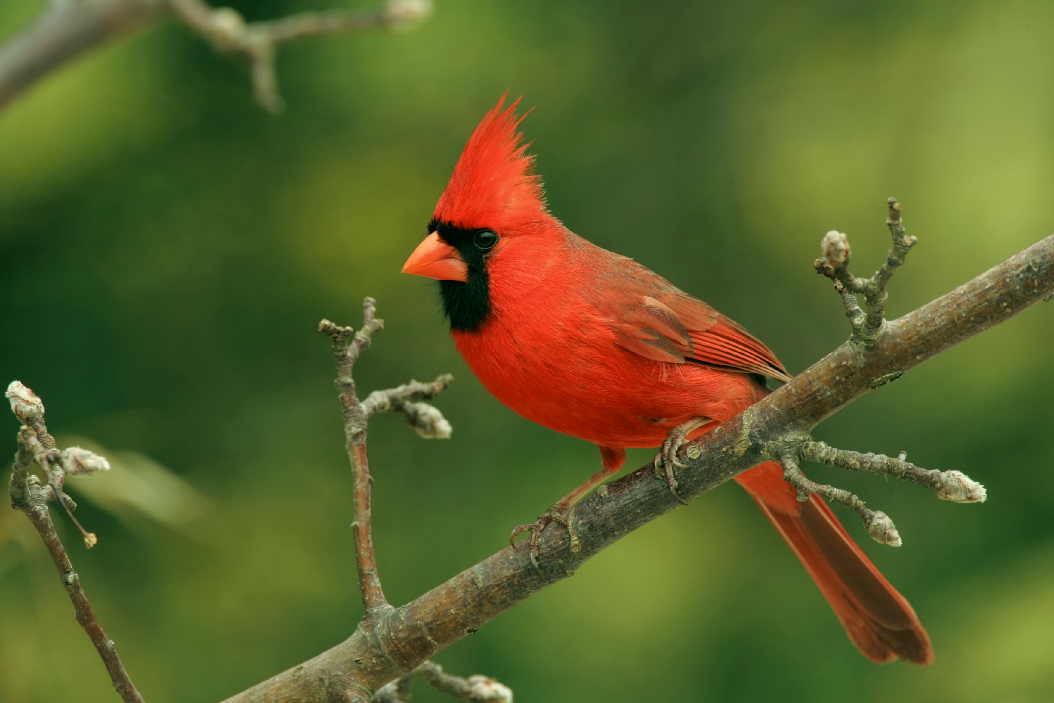 Get to Know the Northern Cardinal