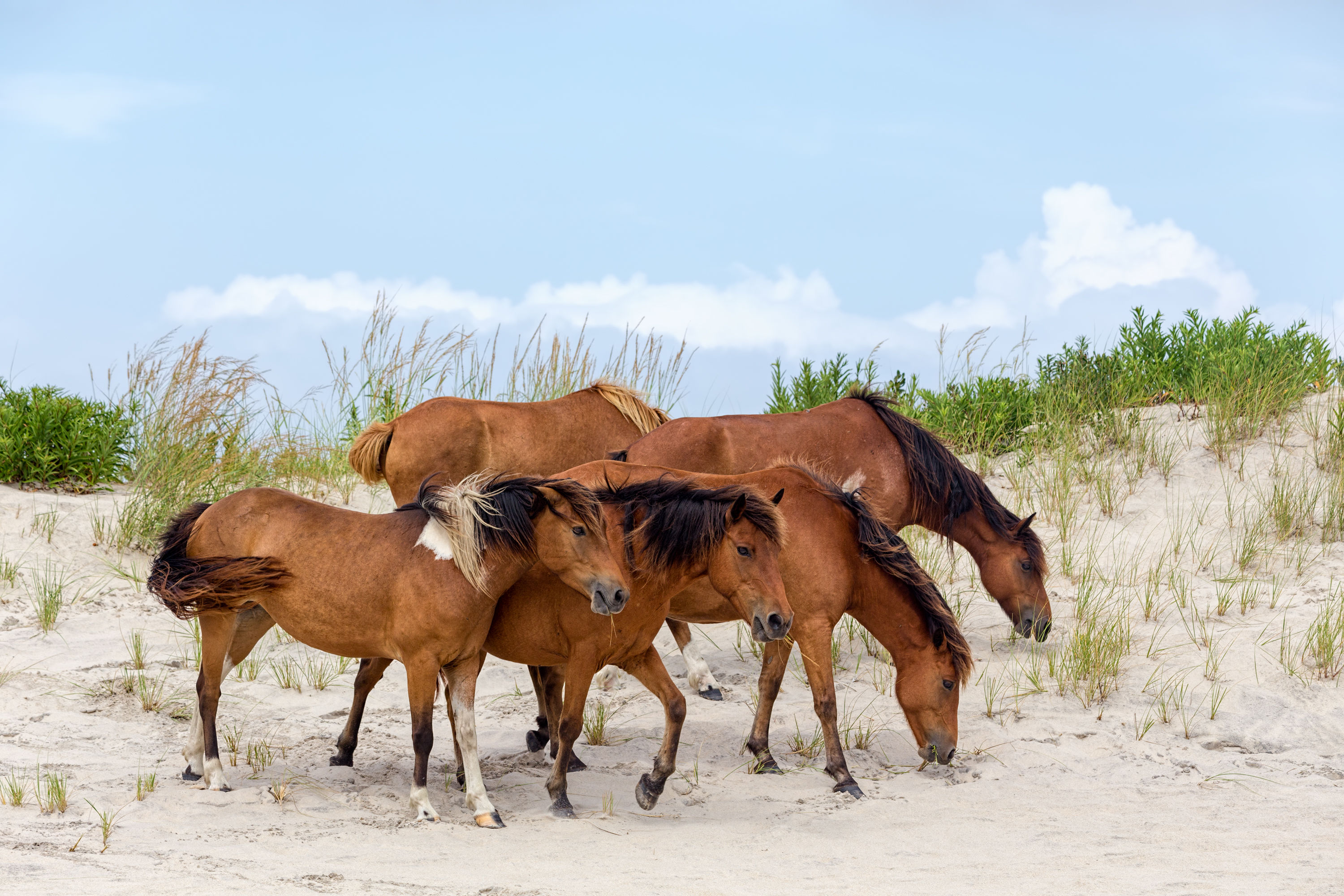 "Assateague Island Loses Seven of Its Herd of Wild Ponies to Deadly ""Swamp Cancer"""