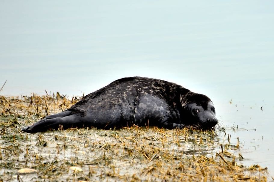 Scientists Closely Watching Young Seal's Solo Tour of the South's Best Beaches