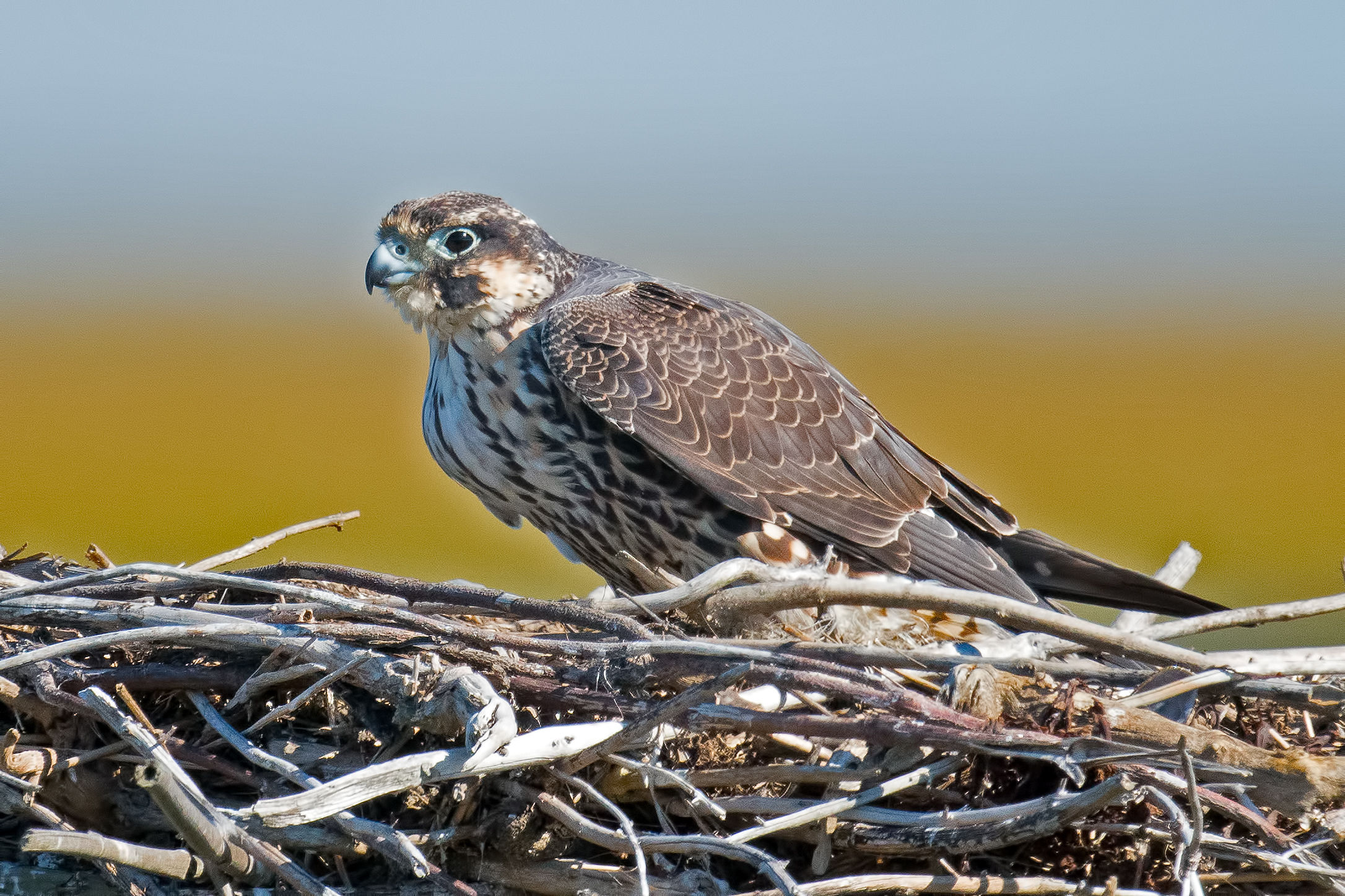 WATCH: Here's Why Peregrine Falcons Are Being Pushed From Their Nests In North Carolina
