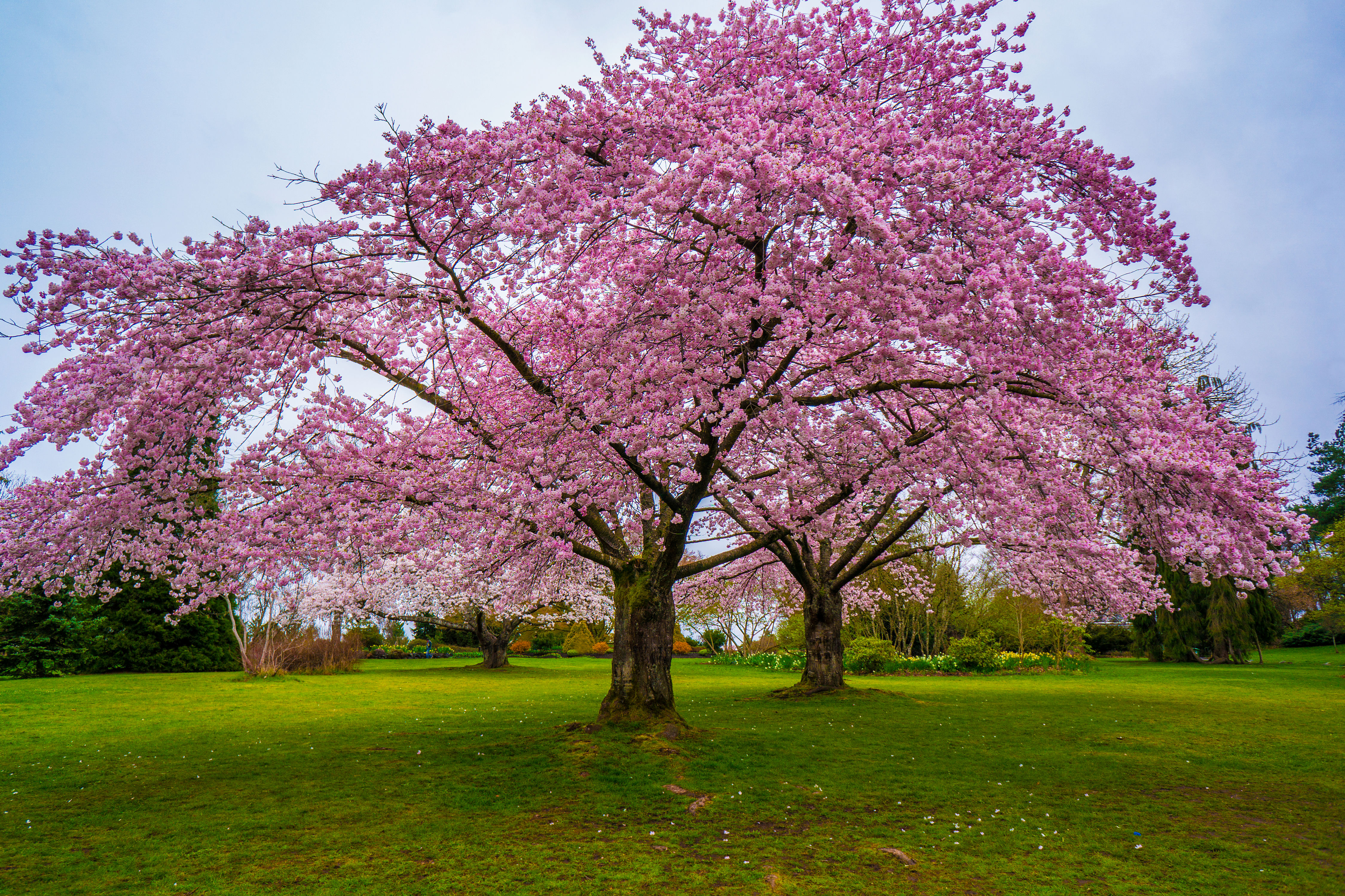 You Can Buy a Cherry Blossom Tree for Just $39 at Home Depot