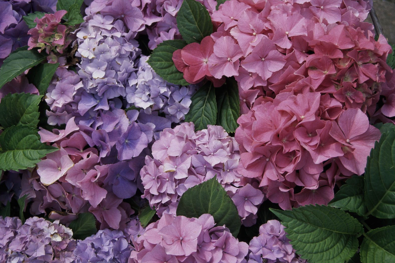 Get The Low-Down On Hydrangea Care