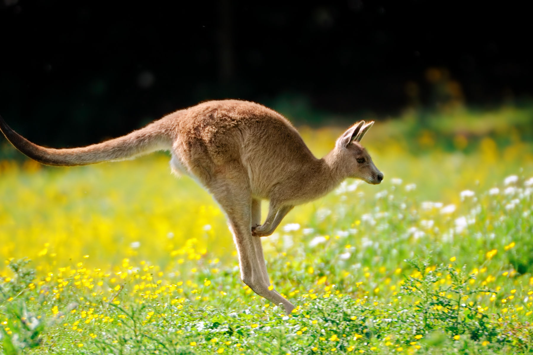 An Escaped Kangaroo Is on the Loose in Texas