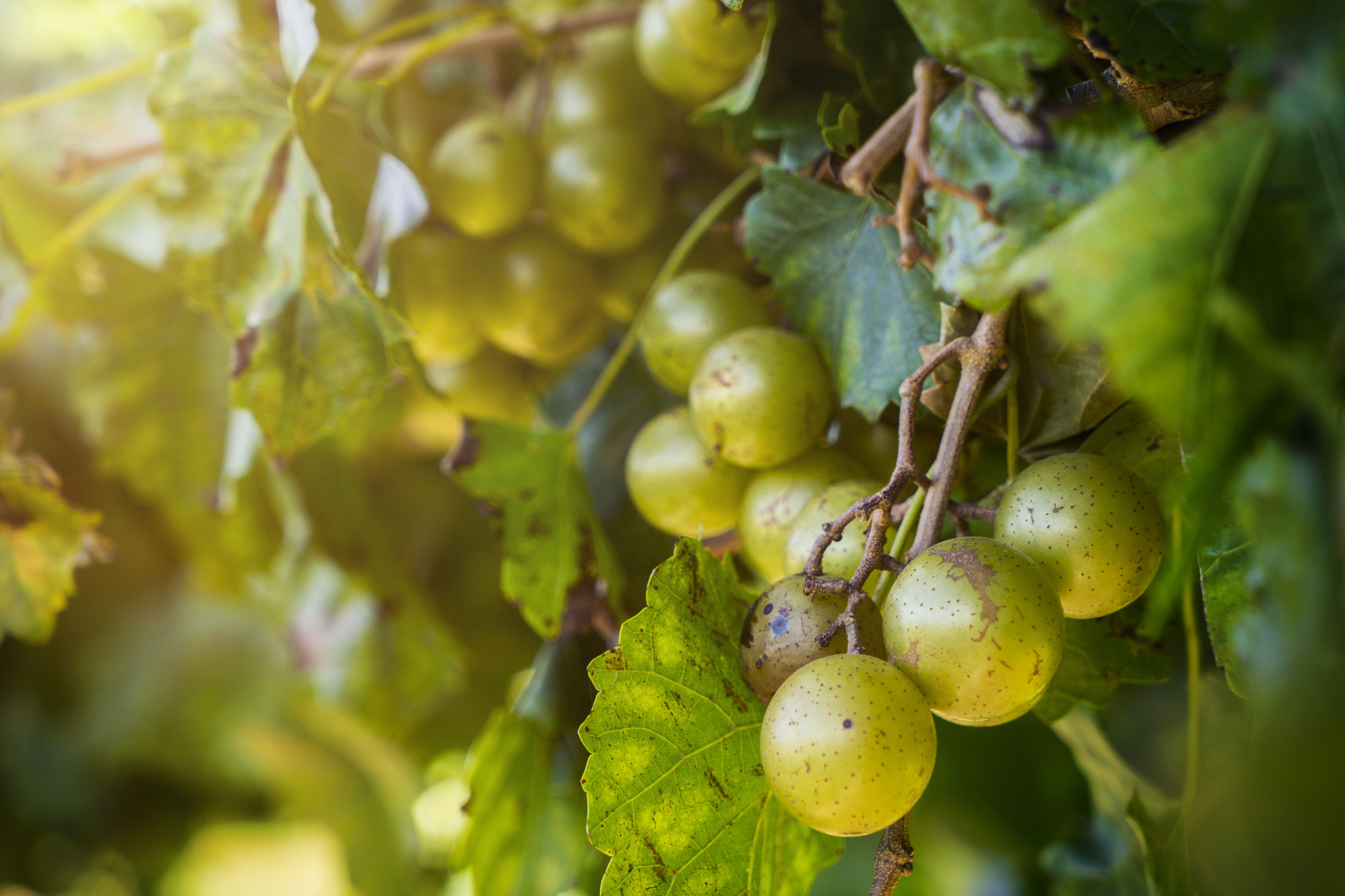 These Southern Grapes Are the Stuff of Legend
