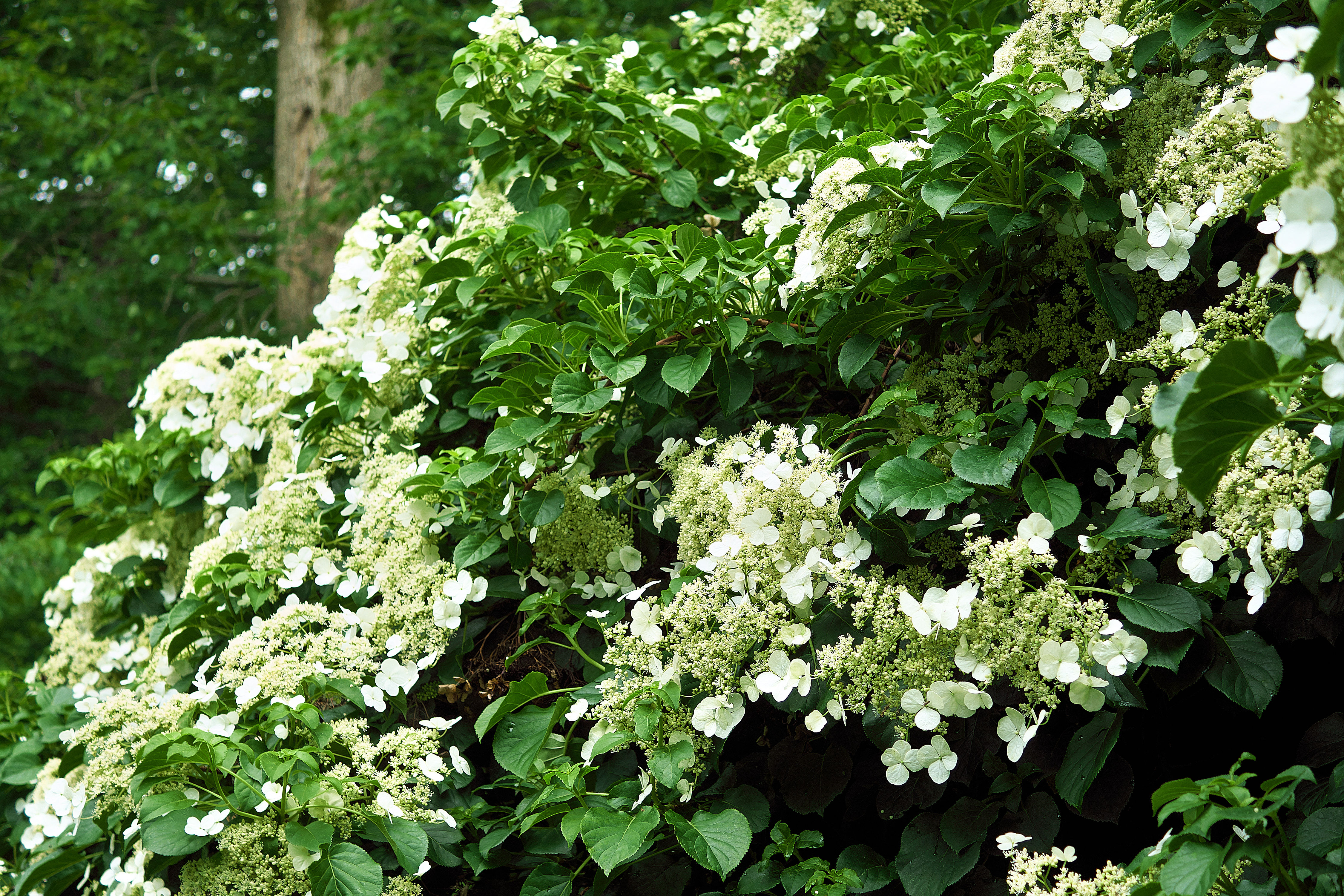 How to Grow a Climbing Hydrangea