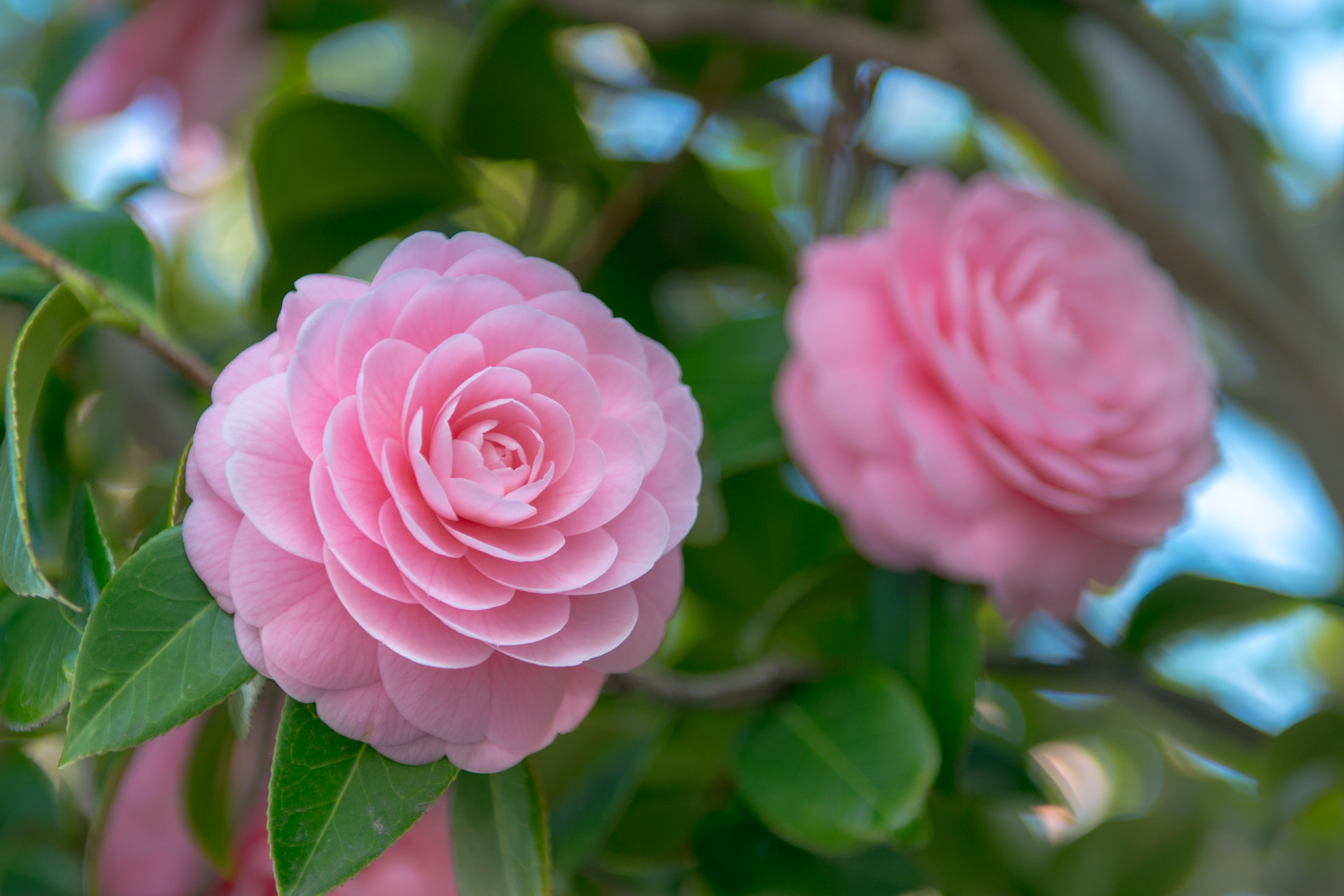 The Biggest Mistakes To Avoid When Growing Camellias