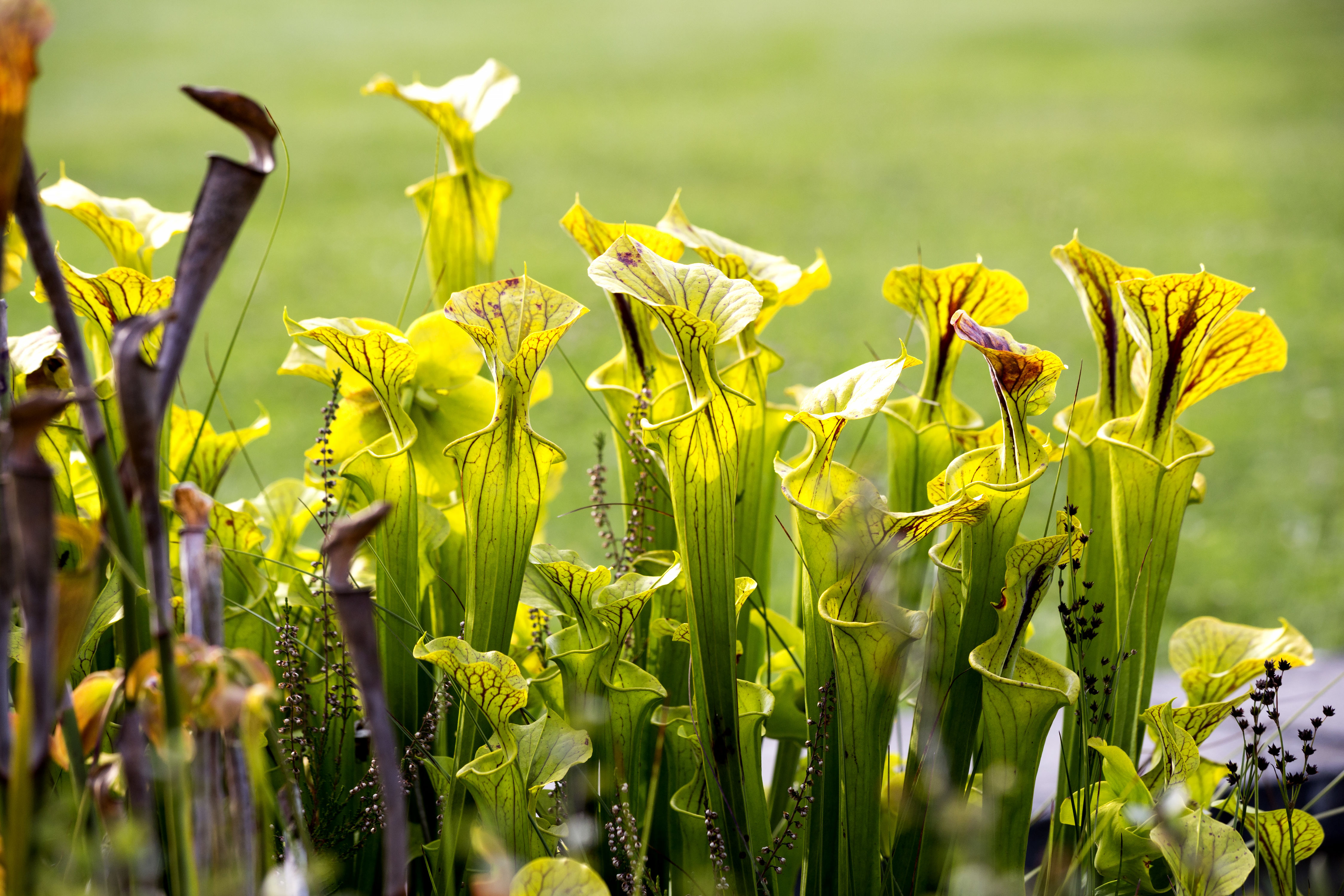 How to Care for Pitcher Plants