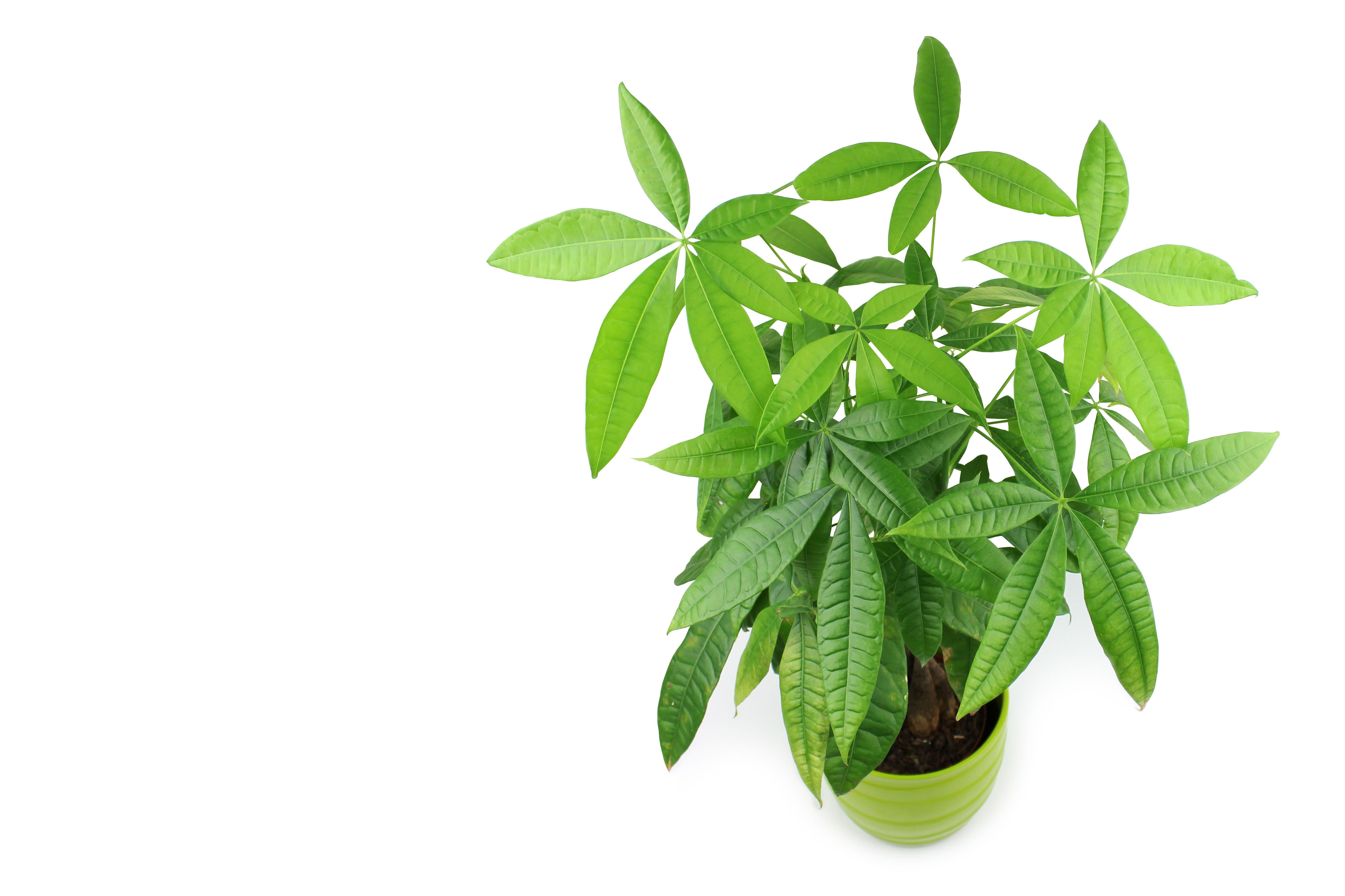 The Easy-to-Grow Money Tree Is Also Considered Good Luck