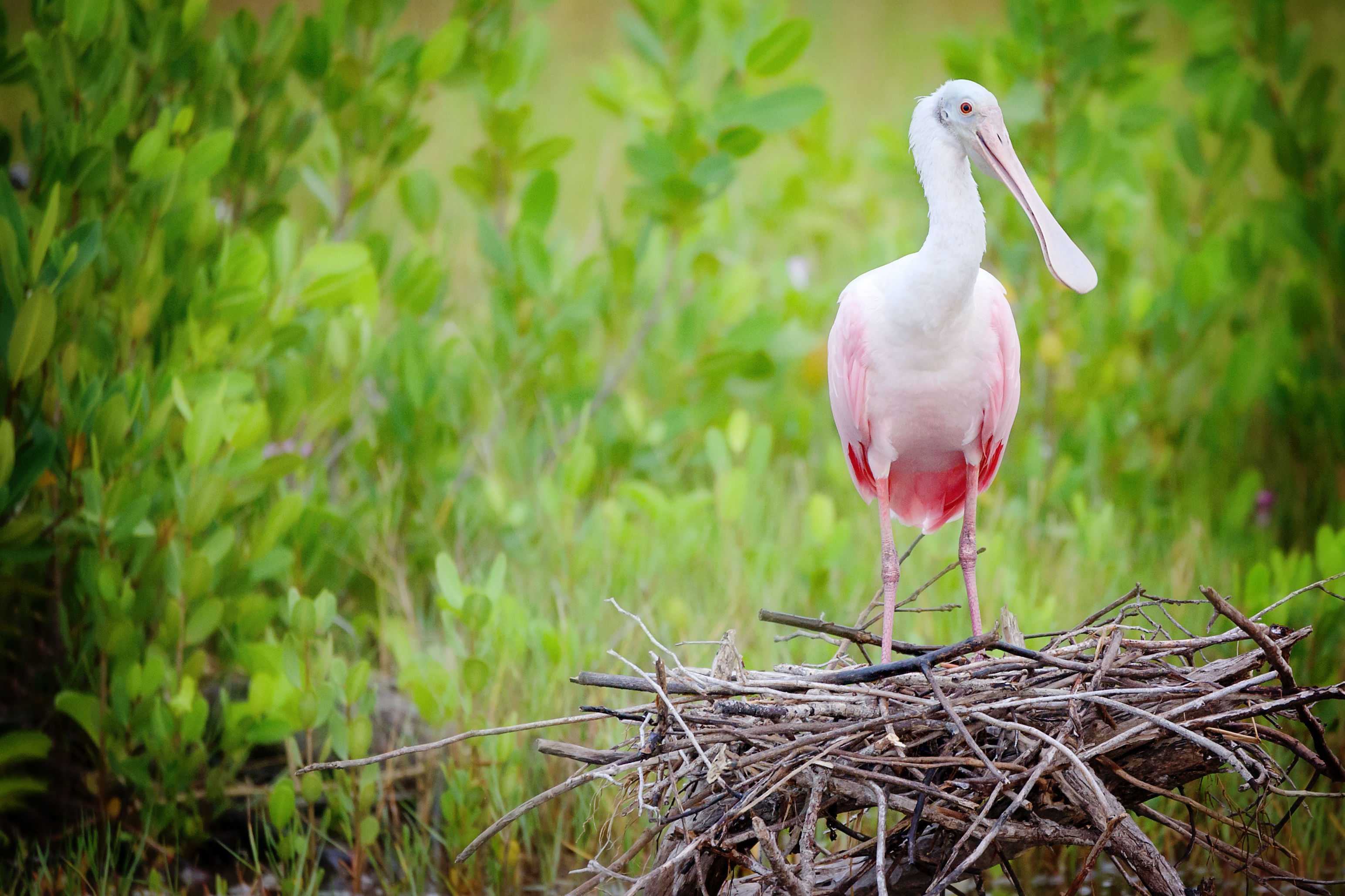 Florida Everglades See Record Number of Wading Bird Nests