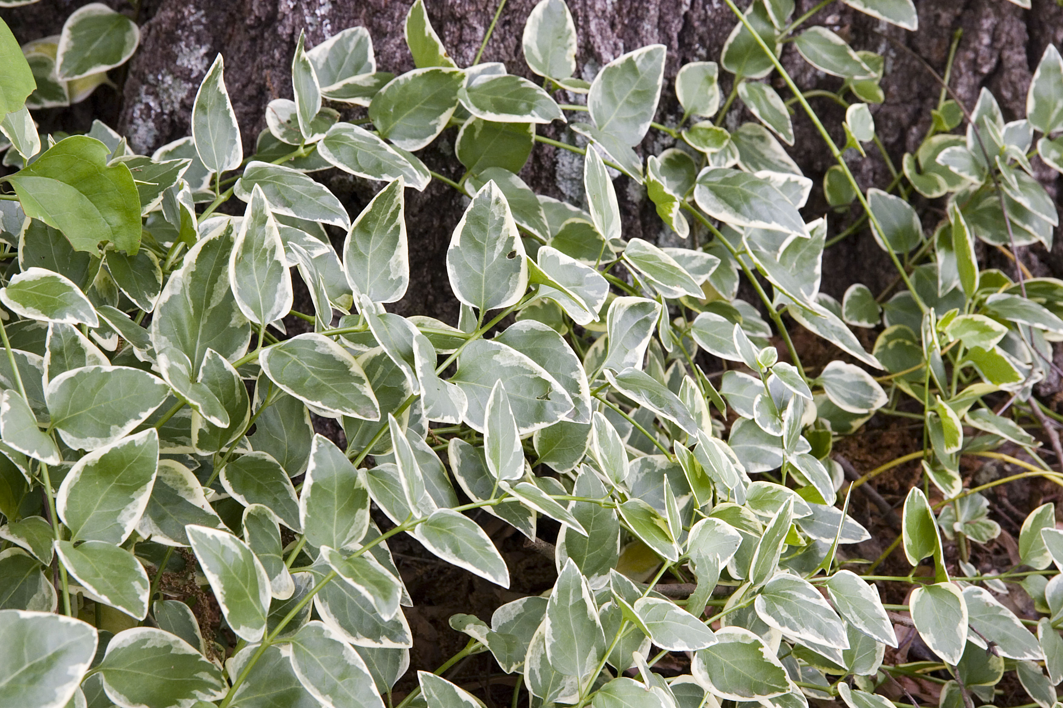 Variegated Vinca Is the Houseplant Your Space Is Missing