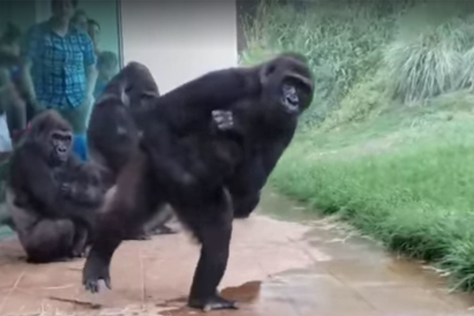 These Gorillas Avoiding a Downpour at a South Carolina Zoo is the Most Relatable Thing You'll See Today