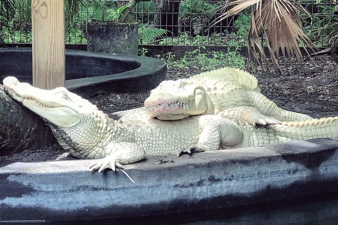 "Albino Alligator Couple's 19 Eggs Considered ""Rarest Batch of Eggs in History"""