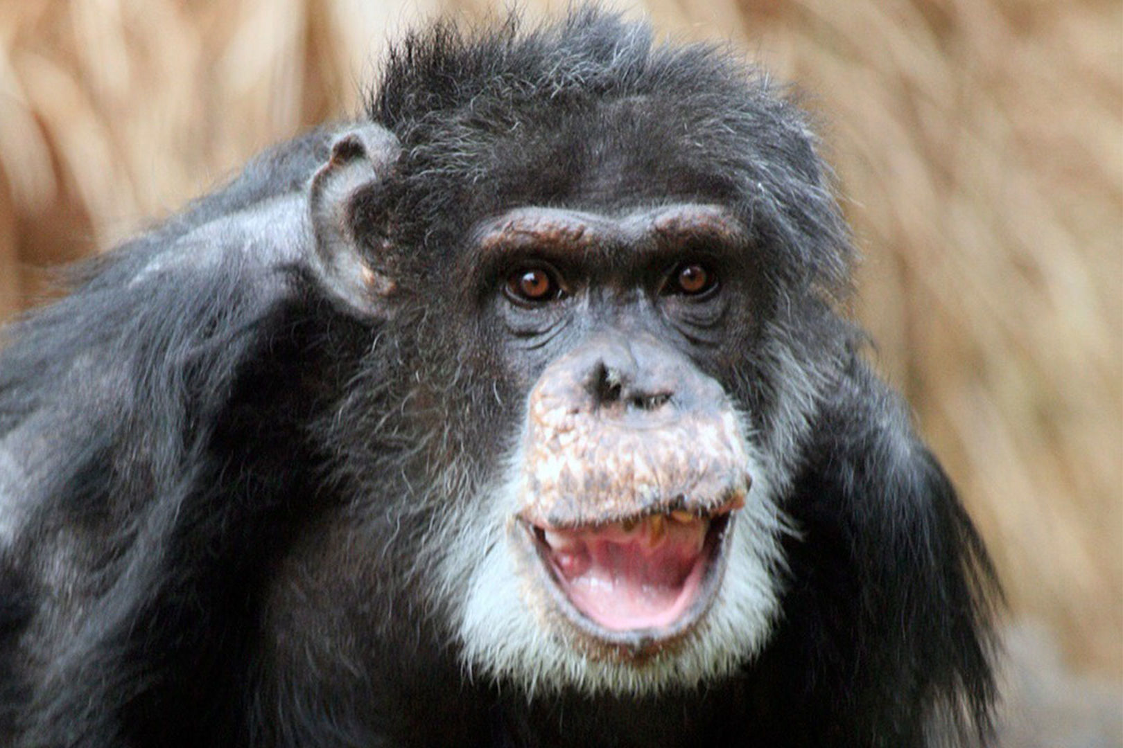 Doyle, Dallas Zoo's Oldest Male Chimpanzee, Passes Away at 49