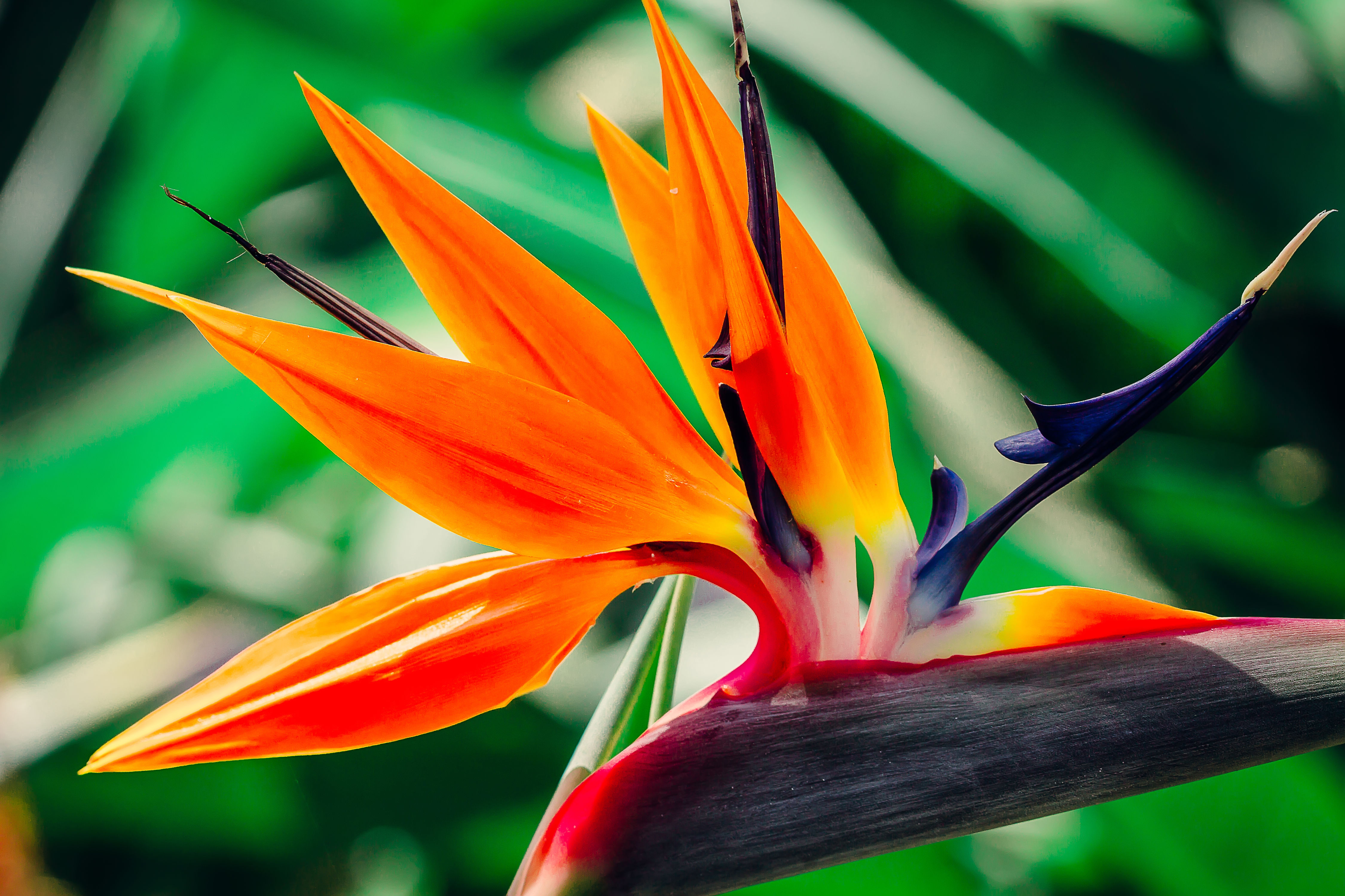 All About Bird-of-Paradise