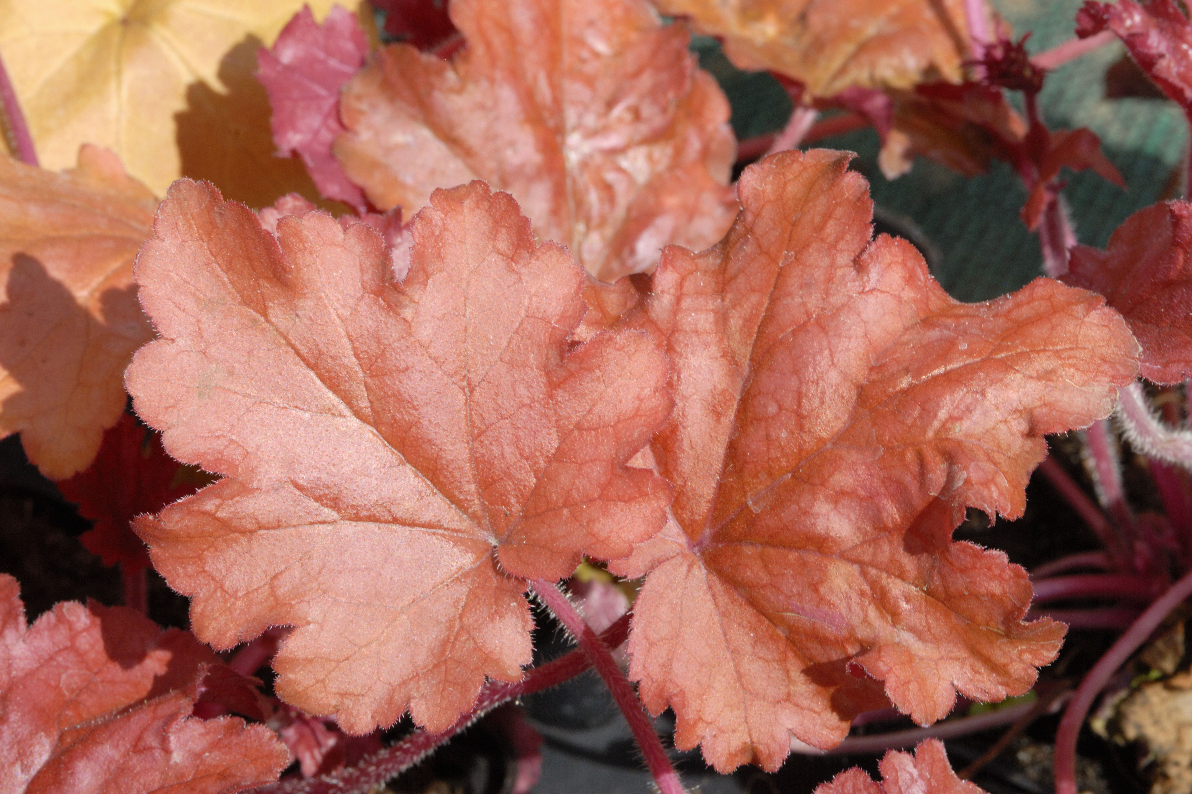 Peach Parfait Heuchera Has the Fanciest Foliage in the Garden