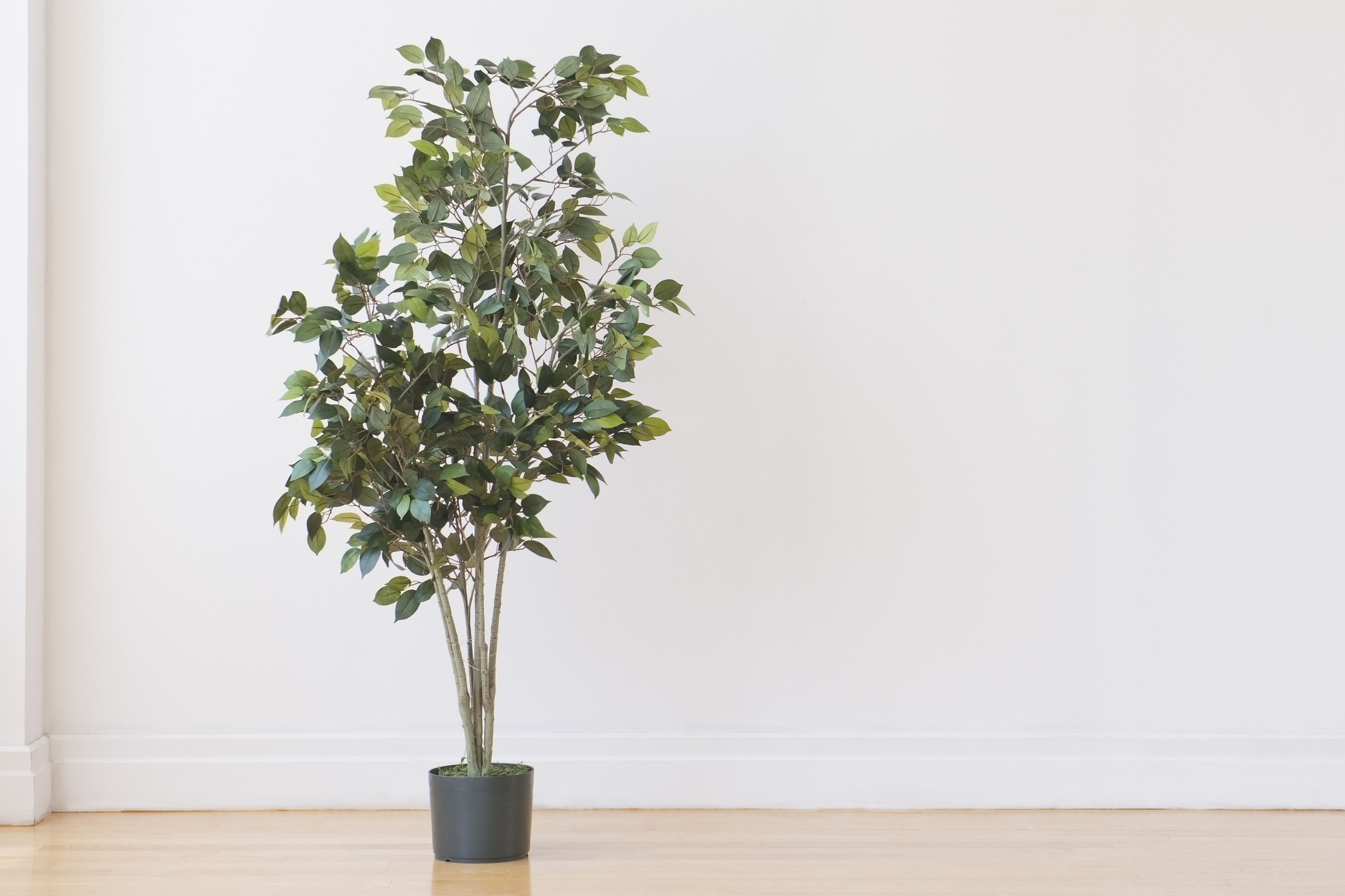 All About the Ficus Tree