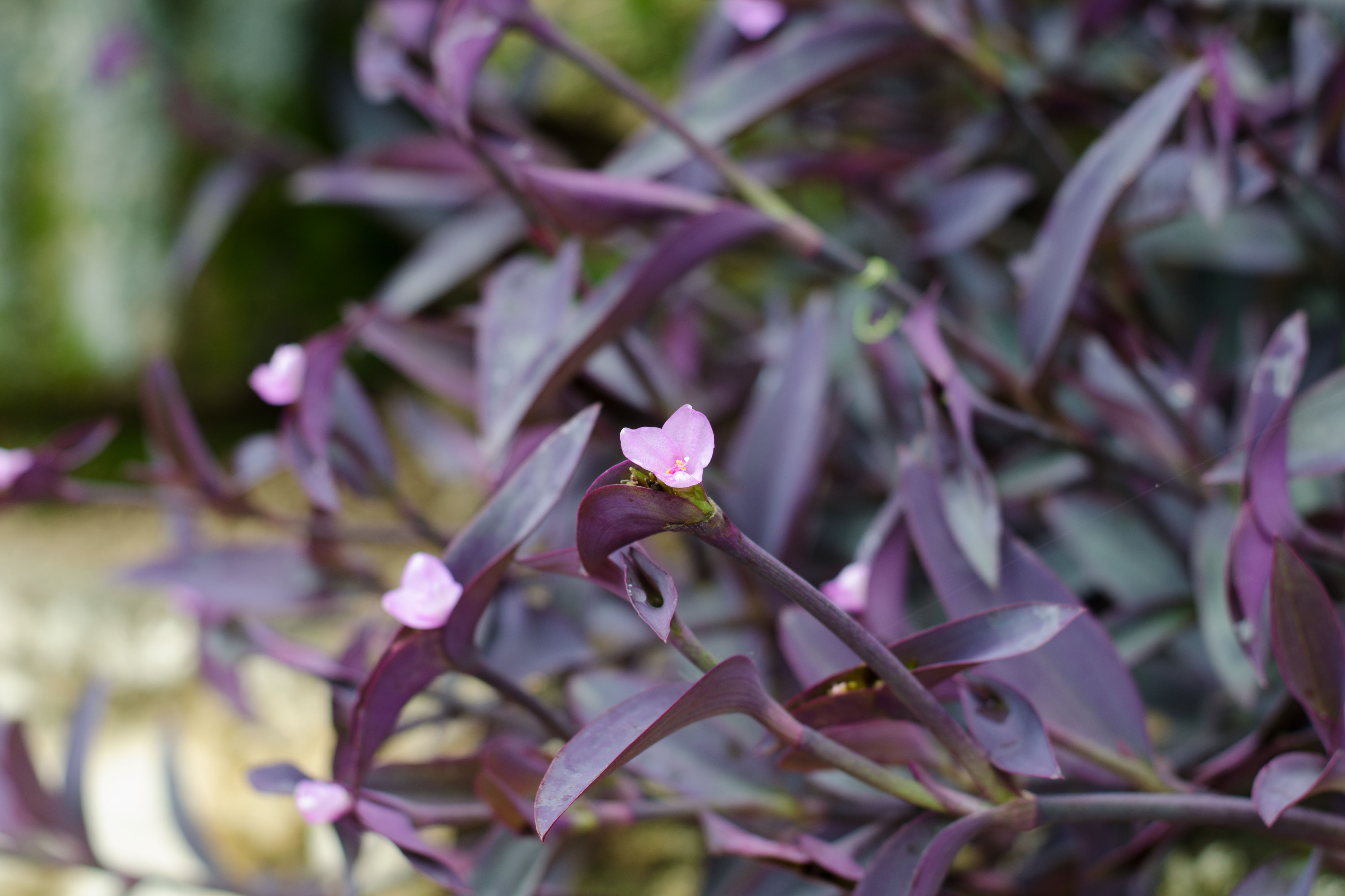 All About the Purple Heart Plant
