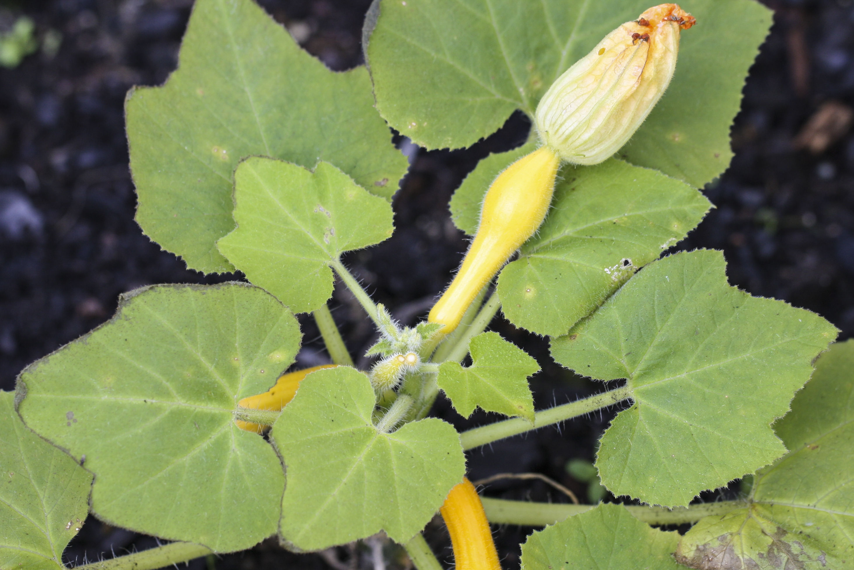 How To Grow Healthy Squash Plants
