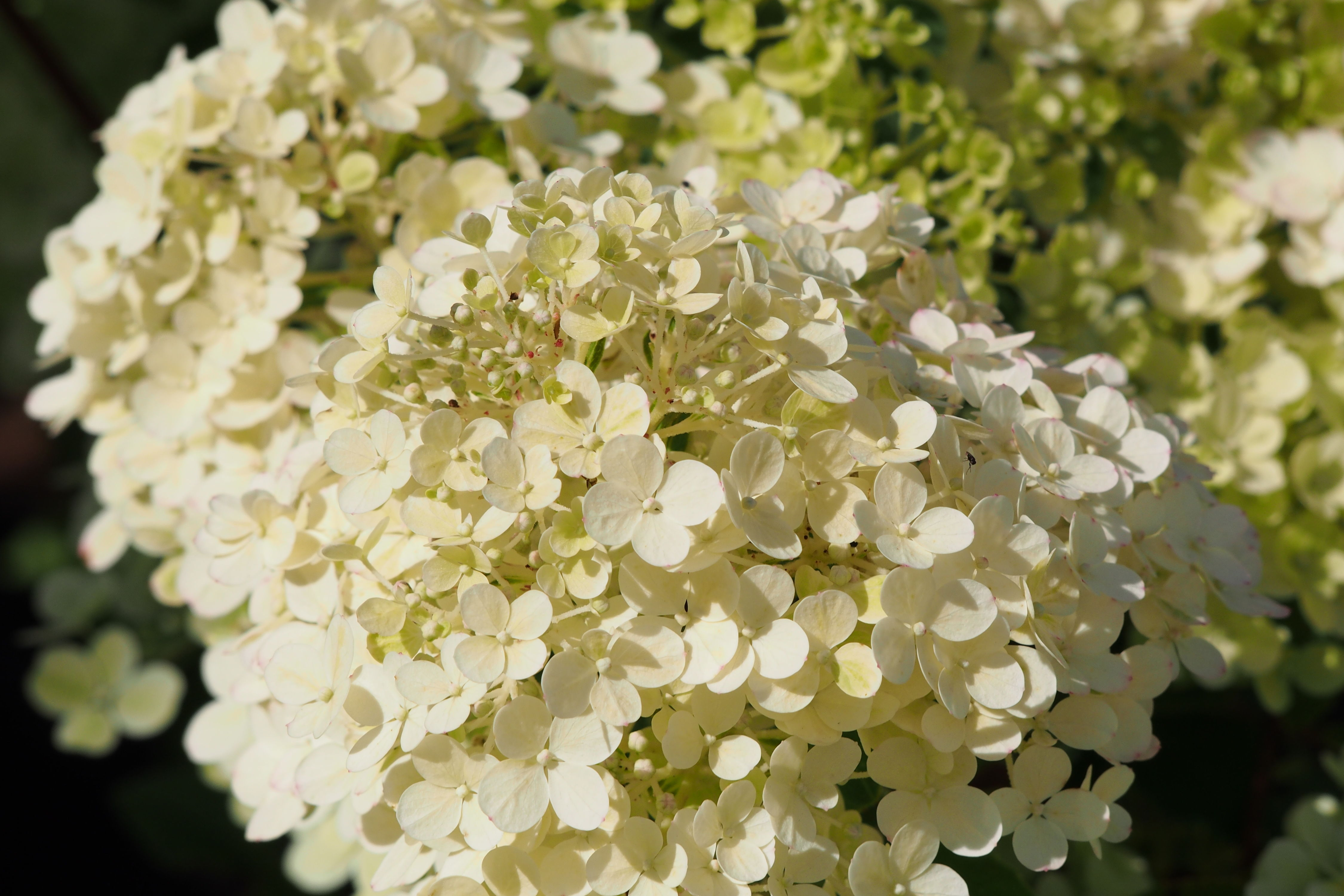 This Hydrangea's Lush Blooms Turn From White to Pink