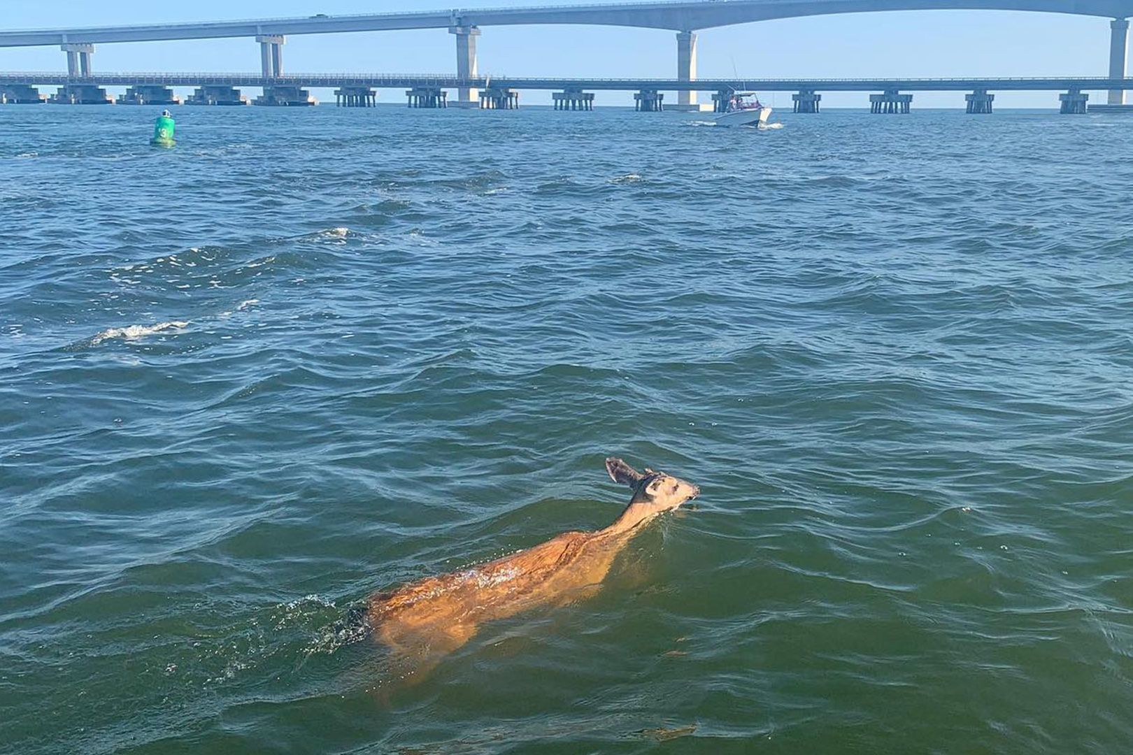 Boaters Shocked to Find Deer Swimming Across Dangerous Outer Banks Inlet
