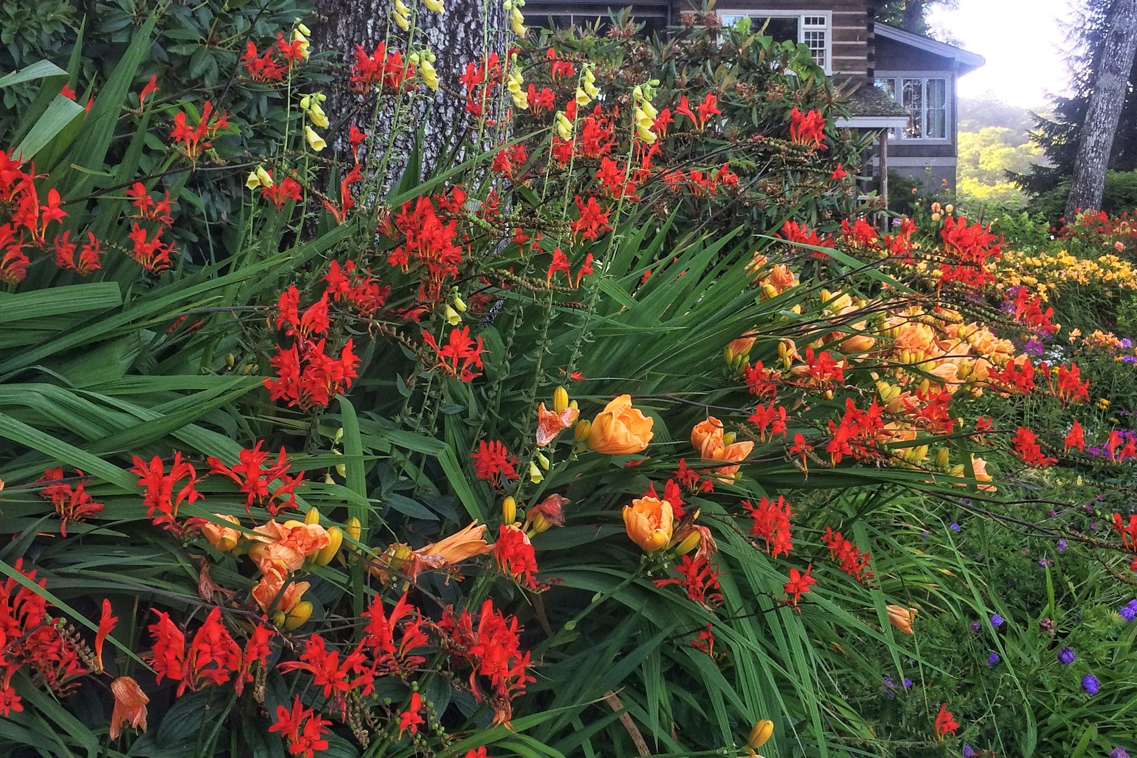 Fire Up the Garden with Crocosmia