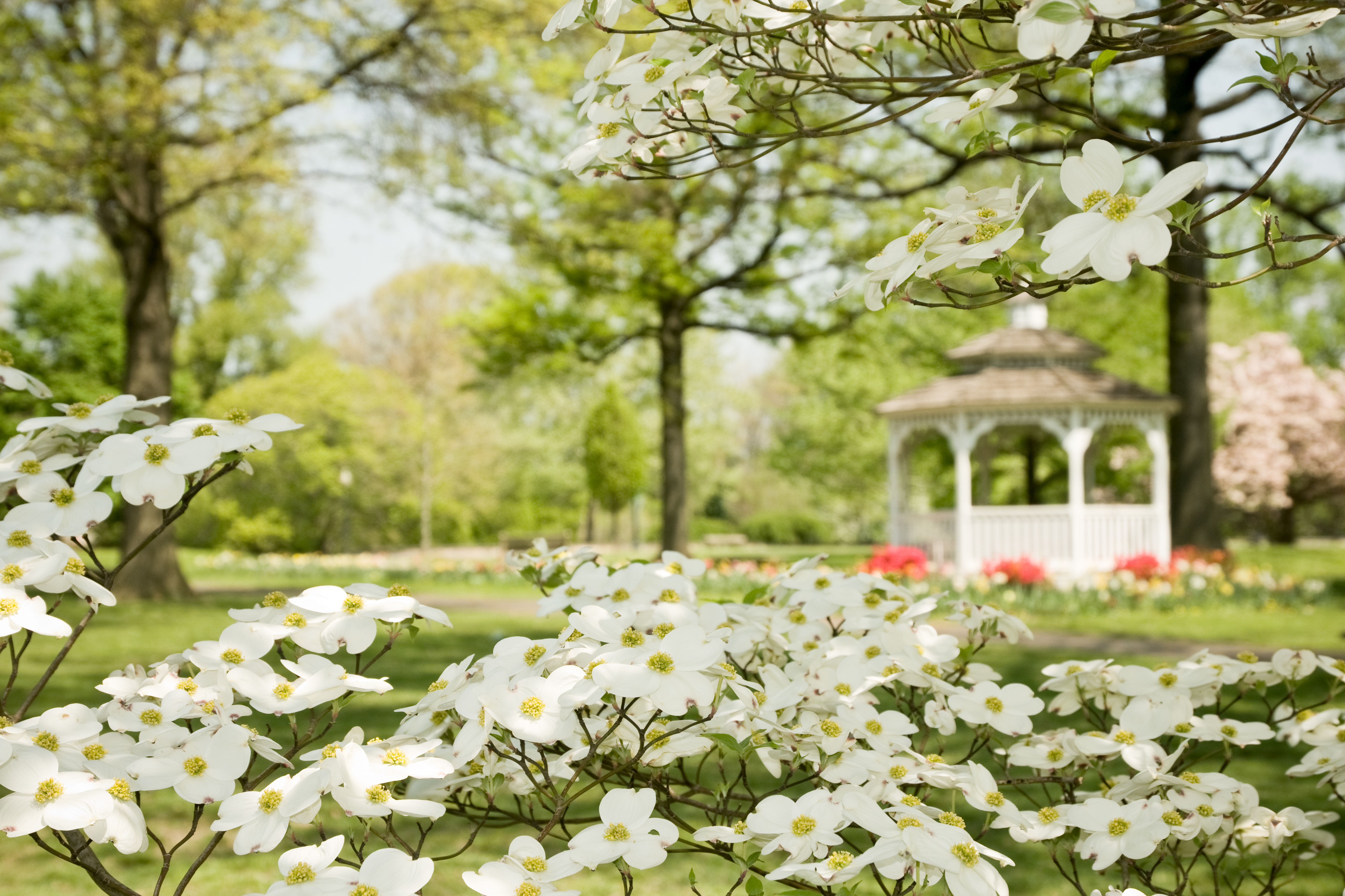 Dogwoods Are the Pretty Flowering Trees Southerners Love