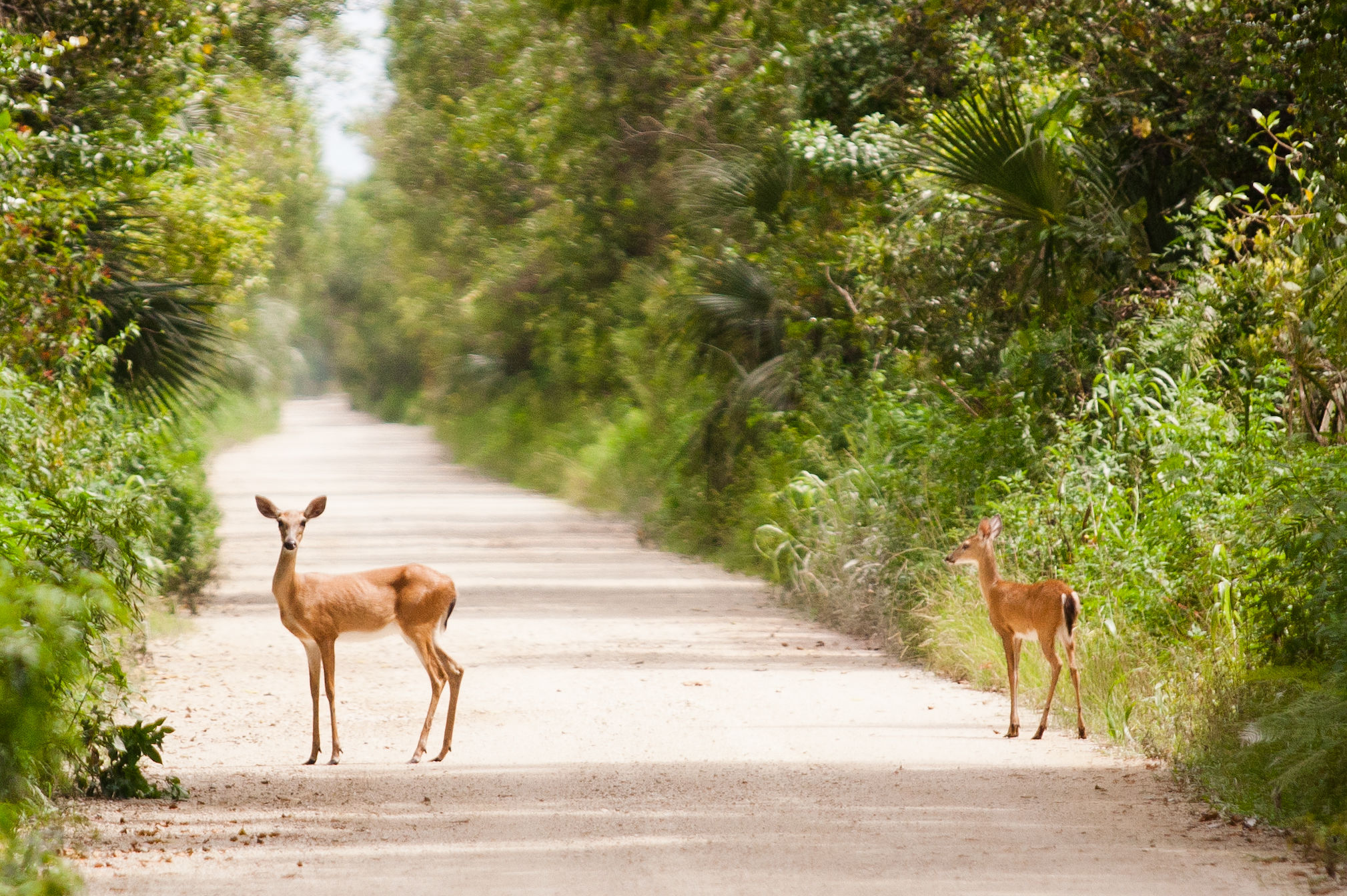 Where to See Florida's Key Deer