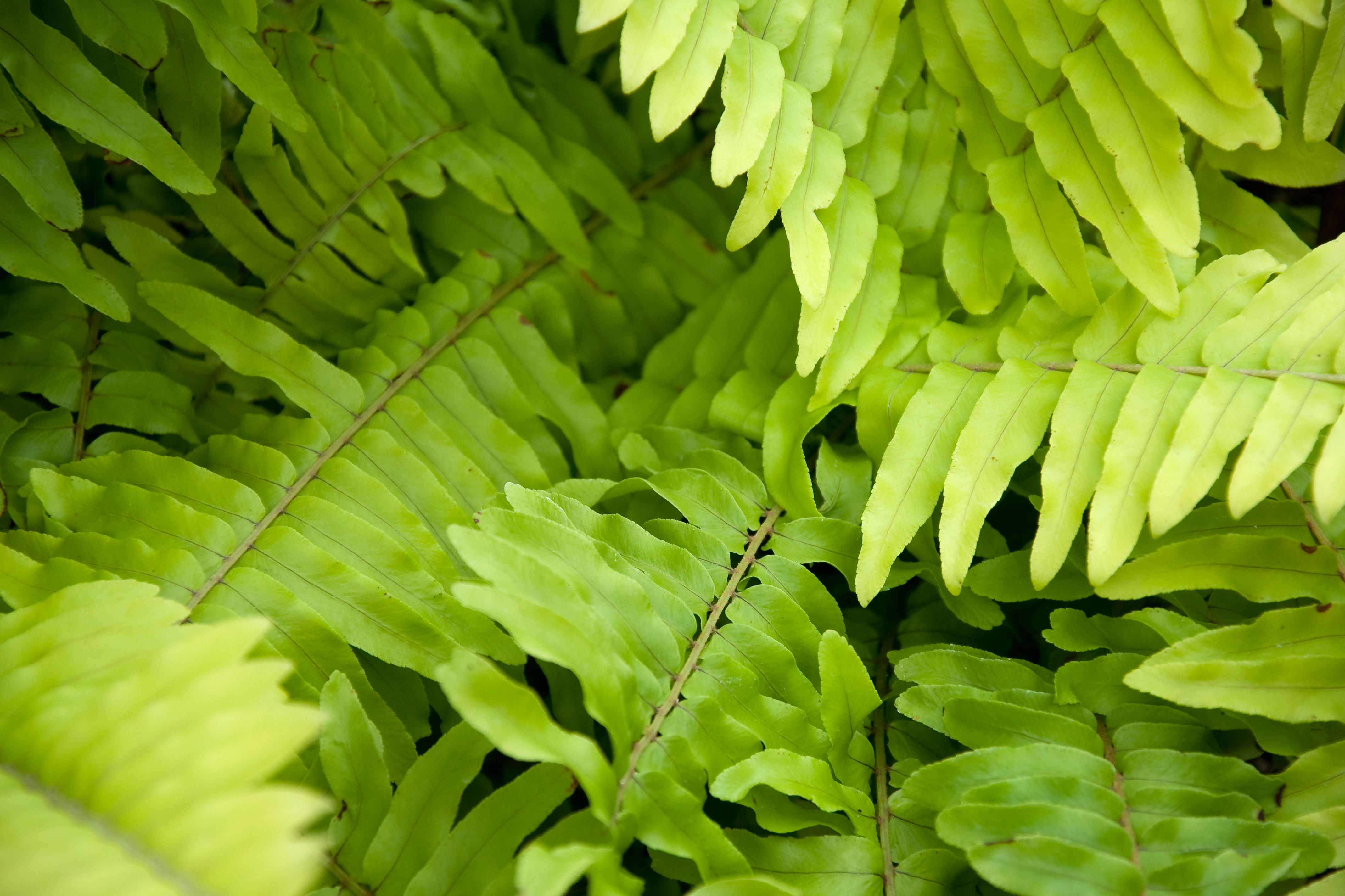 This Gorgeous Golden Fern Is Perfect for Your Hanging Baskets